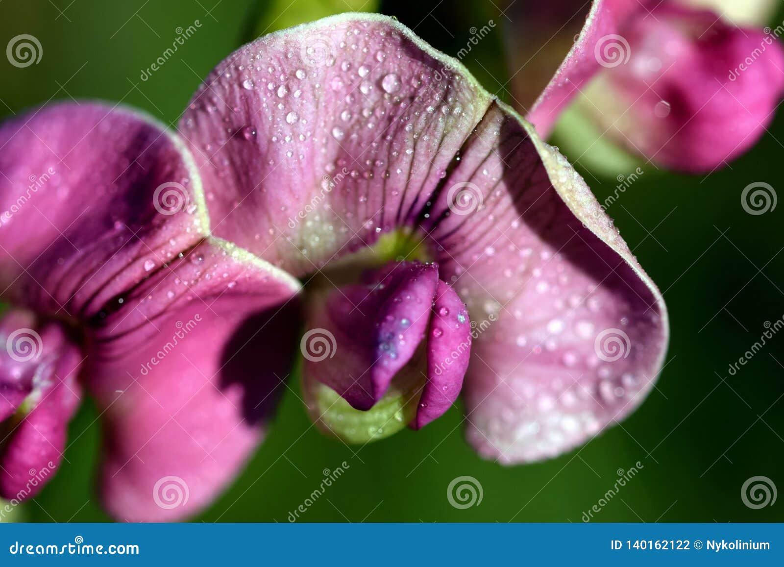 Ρόδινα λουλούδια με τα σταγονίδια νερού