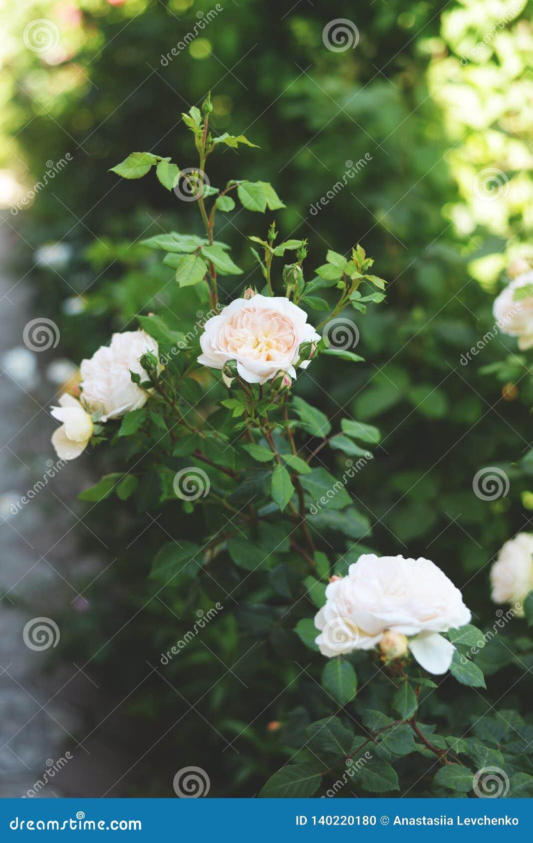 Όμορφα άσπρα τριαντάφυλλα στο βοτανικό κήπο