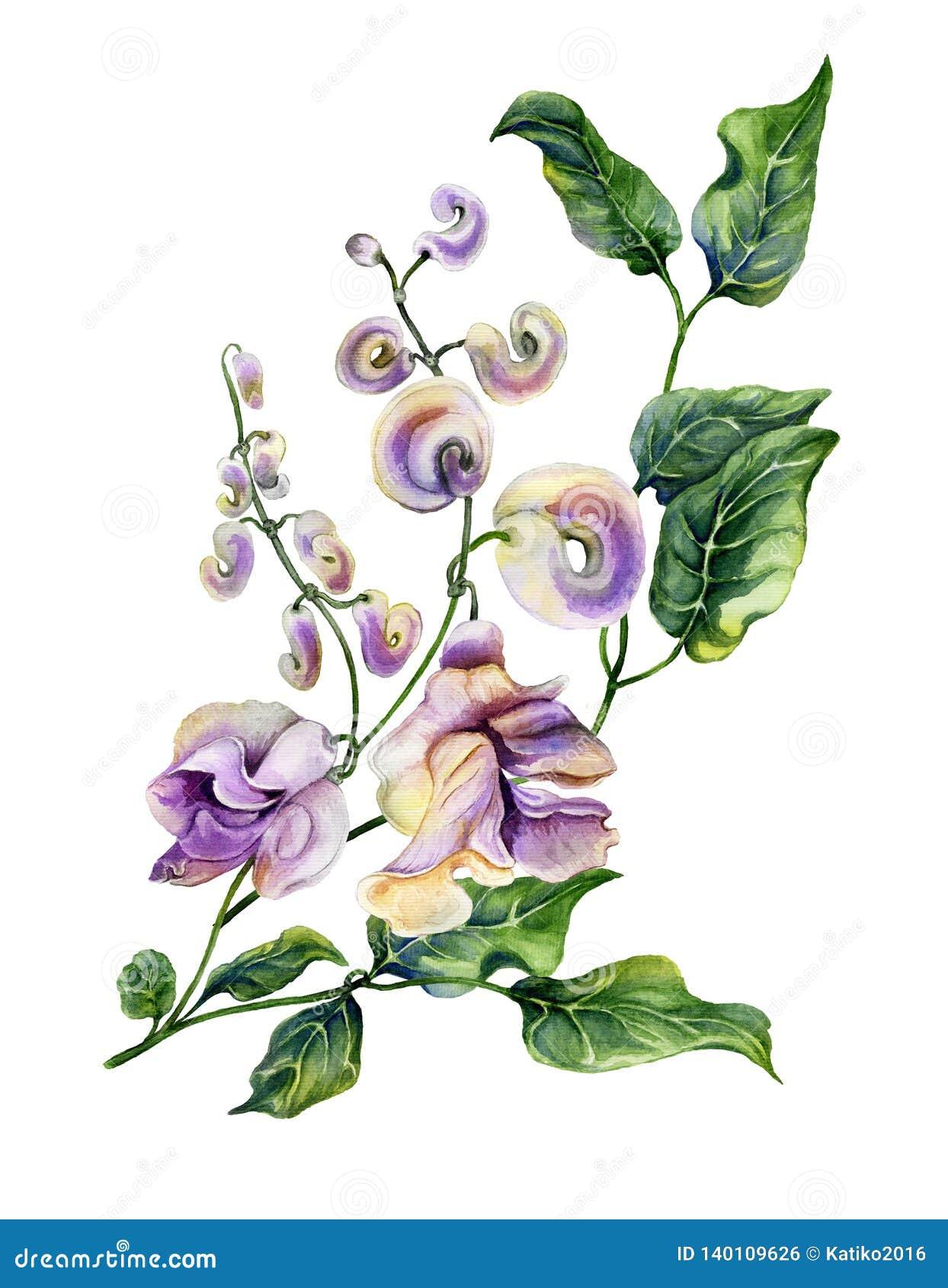 Όμορφος κλαδίσκος caracalla Cochliasanthus αμπέλων σαλιγκαριών με τα λουλούδια purpe και τα πράσινα φύλλα η ανασκόπηση απομόνωσε