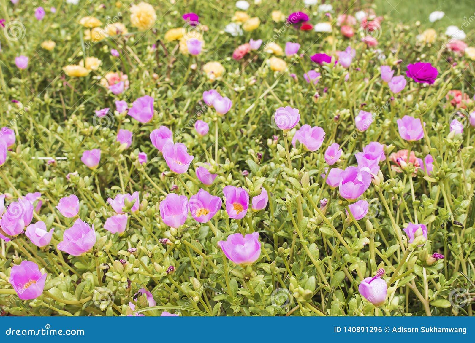 Όμορφος τομέας λουλουδιών, γλυκό χρώμα λουλουδιών, όμορφο υπόβαθρο στις ηλιόλουστες ημέρες Κοινό Purslane, Verdolaga, Pigweed, λί