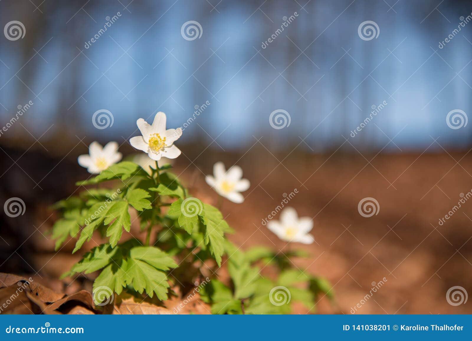 Όμορφο άσπρο anemone στο δάσος μπροστά από το μπλε ουρανό