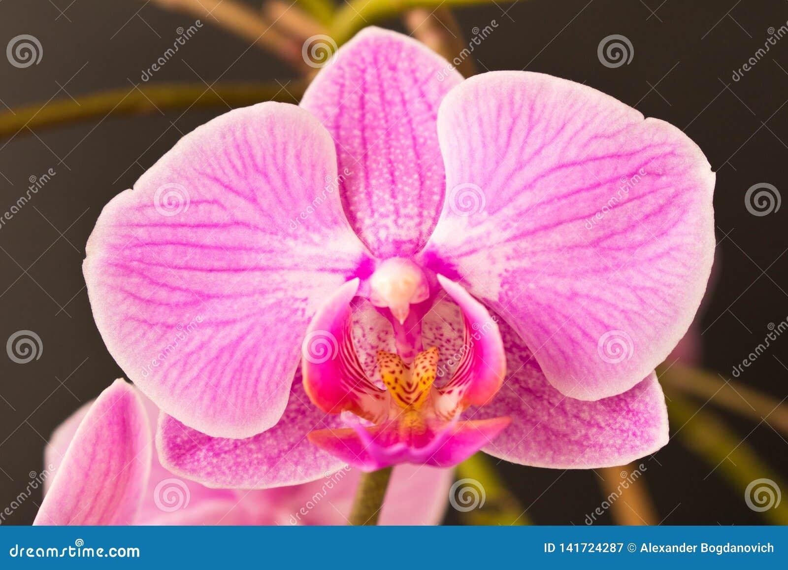 όμορφο orchid λουλουδιών κλείστε επάνω Οφθαλμός ορχιδεών
