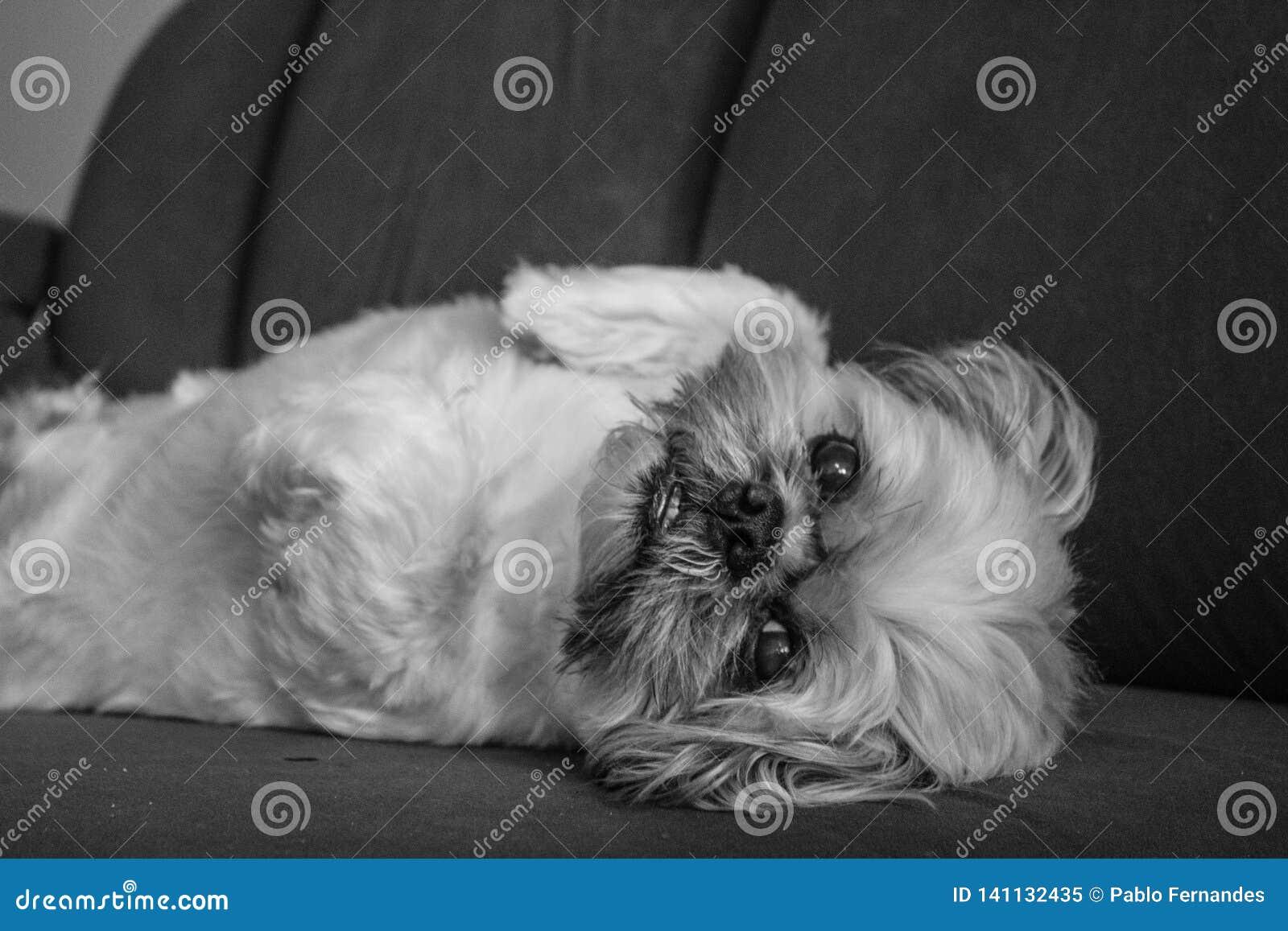Σκυλί χαλάρωσης Shih Tzu
