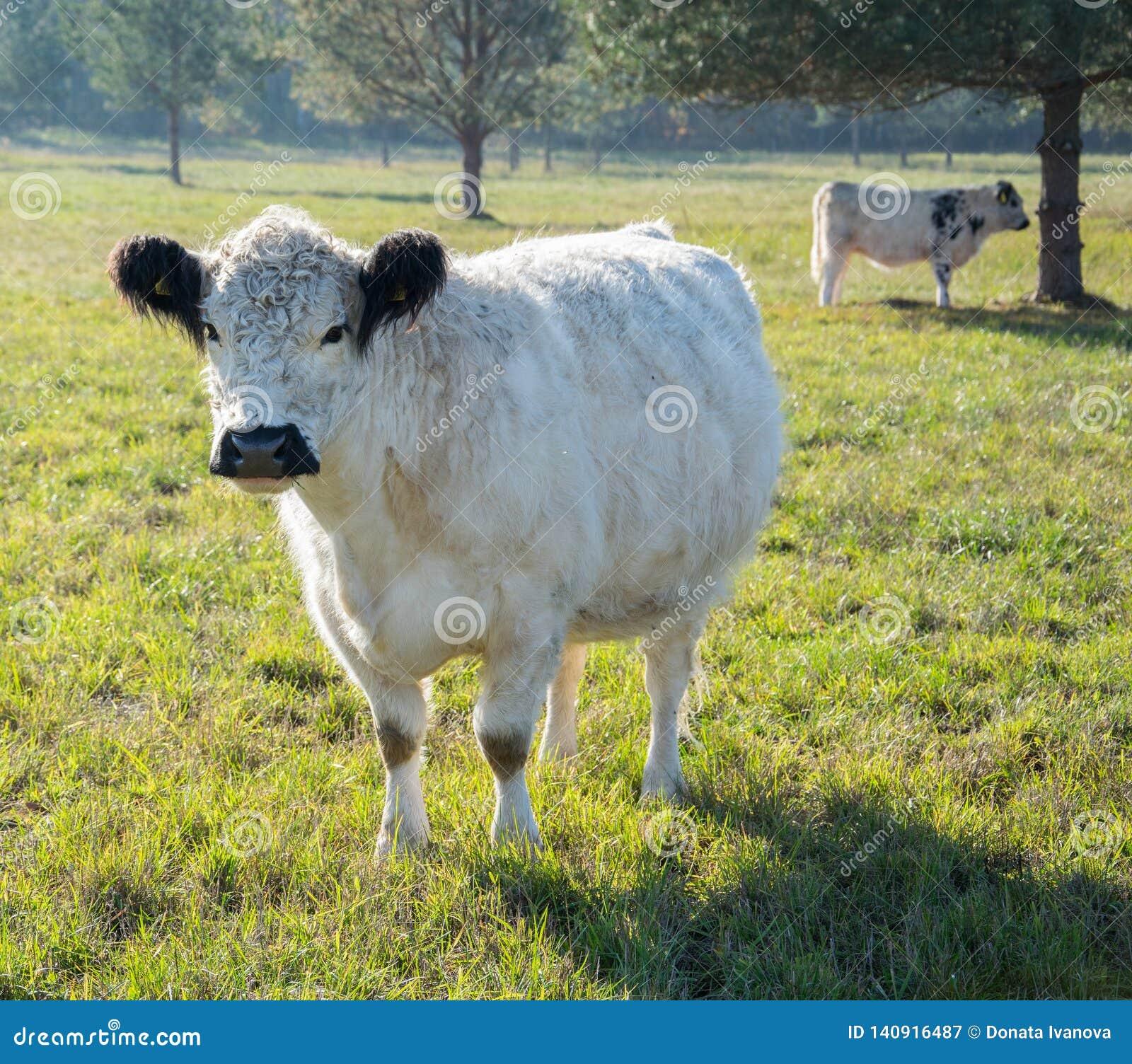 Σκωτσέζικος μόσχος αγελάδων ορεινών περιοχών
