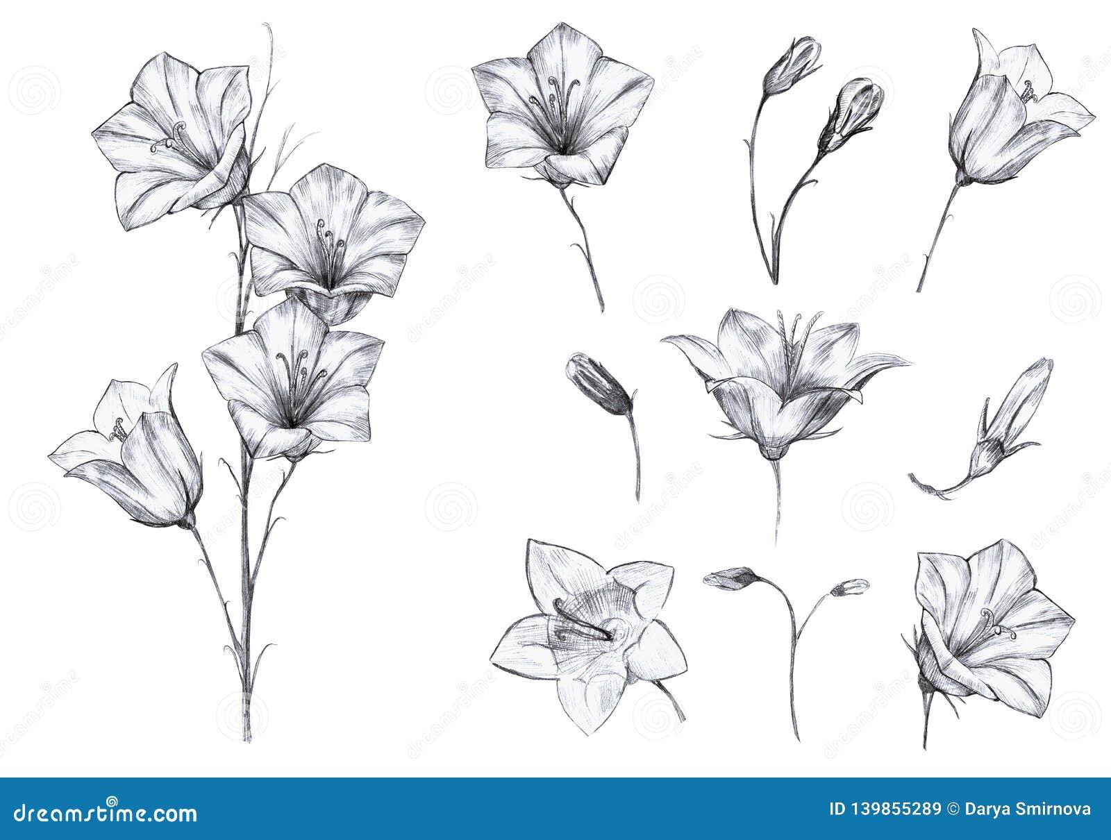 Συρμένο το χέρι floral σύνολο απομονωμένων αντικειμένων με το γραφικό bluebell ανθίζει, μίσχος, οφθαλμοί στο άσπρο υπόβαθρο
