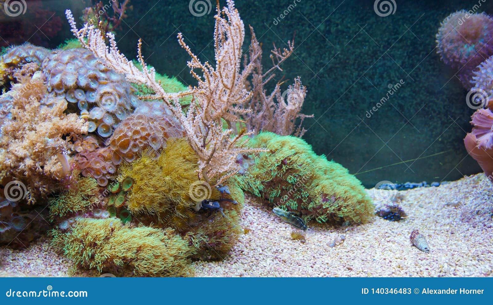 Ψάρια κοραλλιογενών υφάλων που κολυμπούν μπροστά από τα κοράλλια anemones