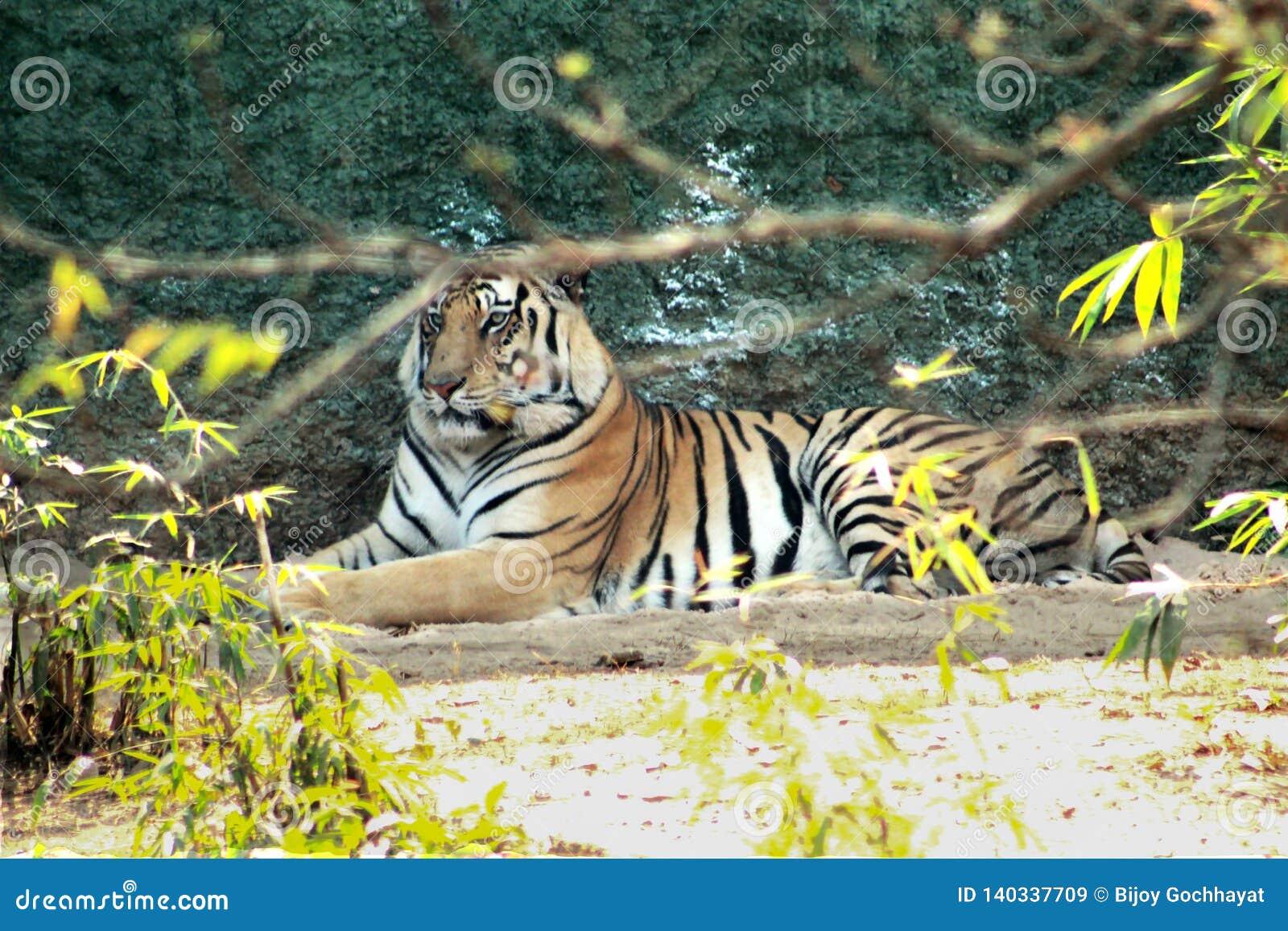 Τίγρη που στηρίζεται σε ένα πάρκο