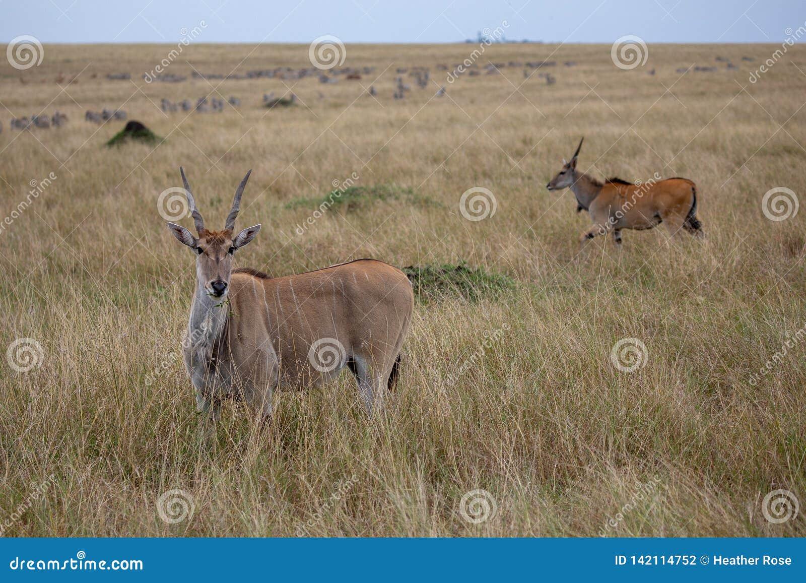 Ταυρότραγος, Masai Mara, Κένυα, Αφρική
