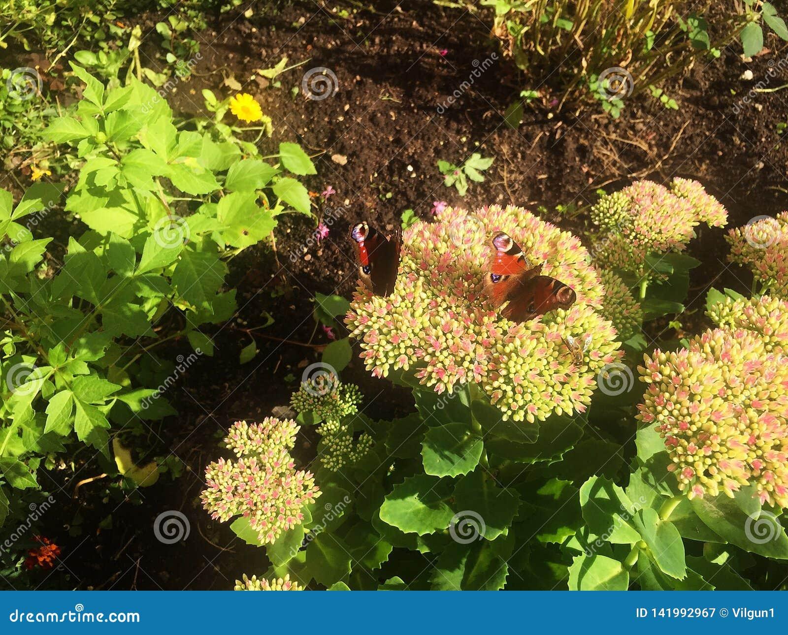 Τα έντομα πεταλούδων κάθονται στα θερινά λουλούδια Φως του ήλιου,
