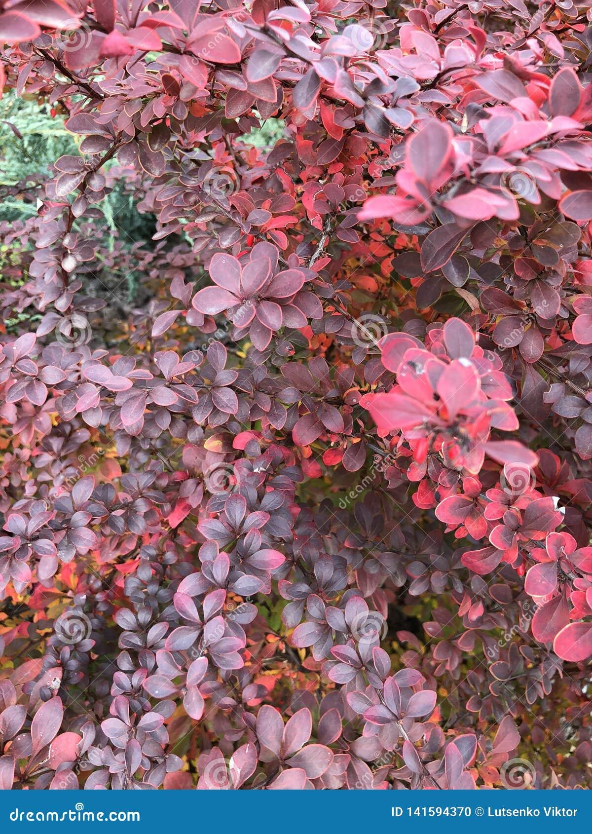 τα φύλλα το κόκκινο