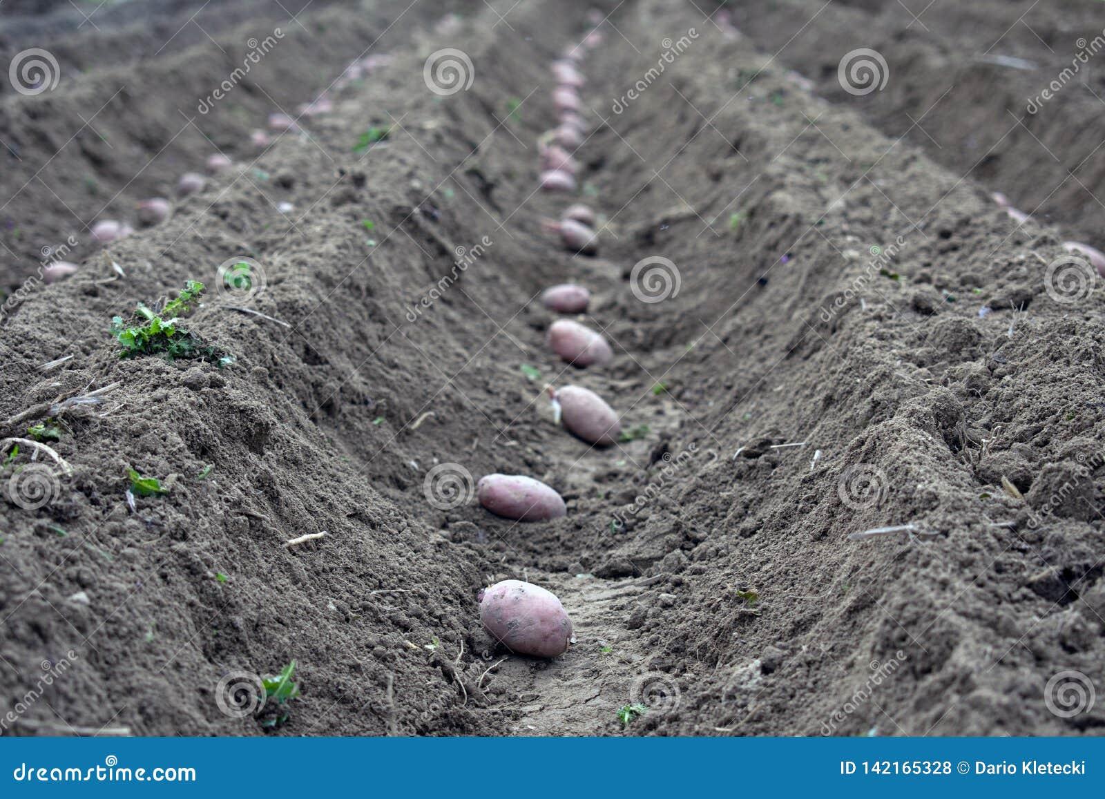 Τομέας των πατατών στις τάφρους