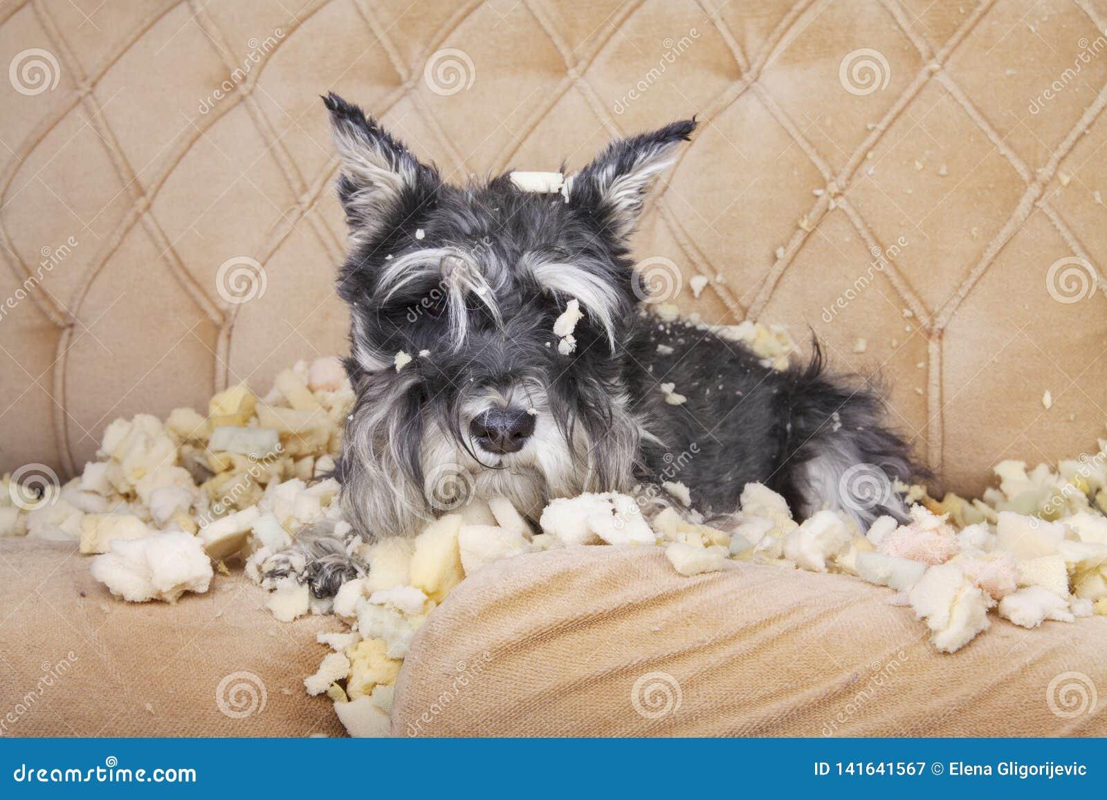 Το άτακτο κακό σκυλί κουταβιών schnauzer βρίσκεται σε έναν καναπέ που κατέστρεψε μόλις