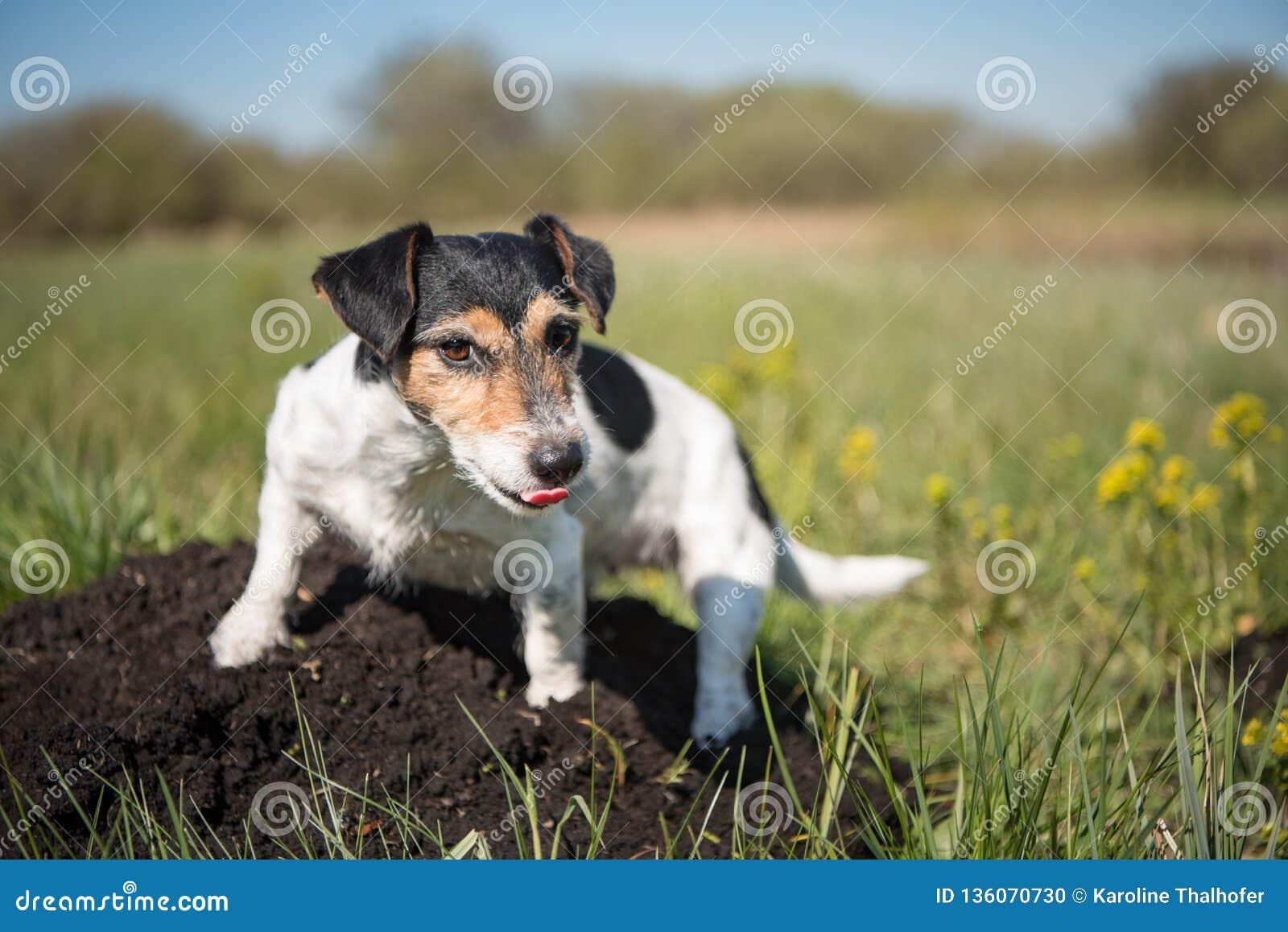 Το σκυλί κάθεται σε ένα molehill - το τεριέ του Russell 7 έτη ol