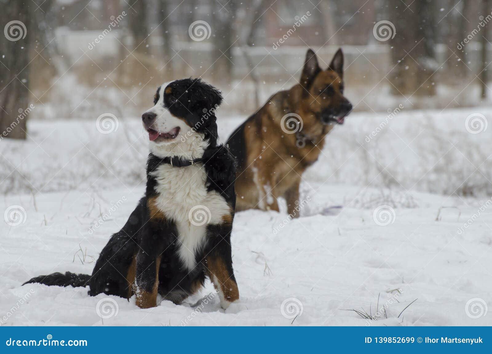 Το Bernese και τα καυκάσια σκυλιά ποιμένων τρέχουν σε ένα χειμερινό πάρκο