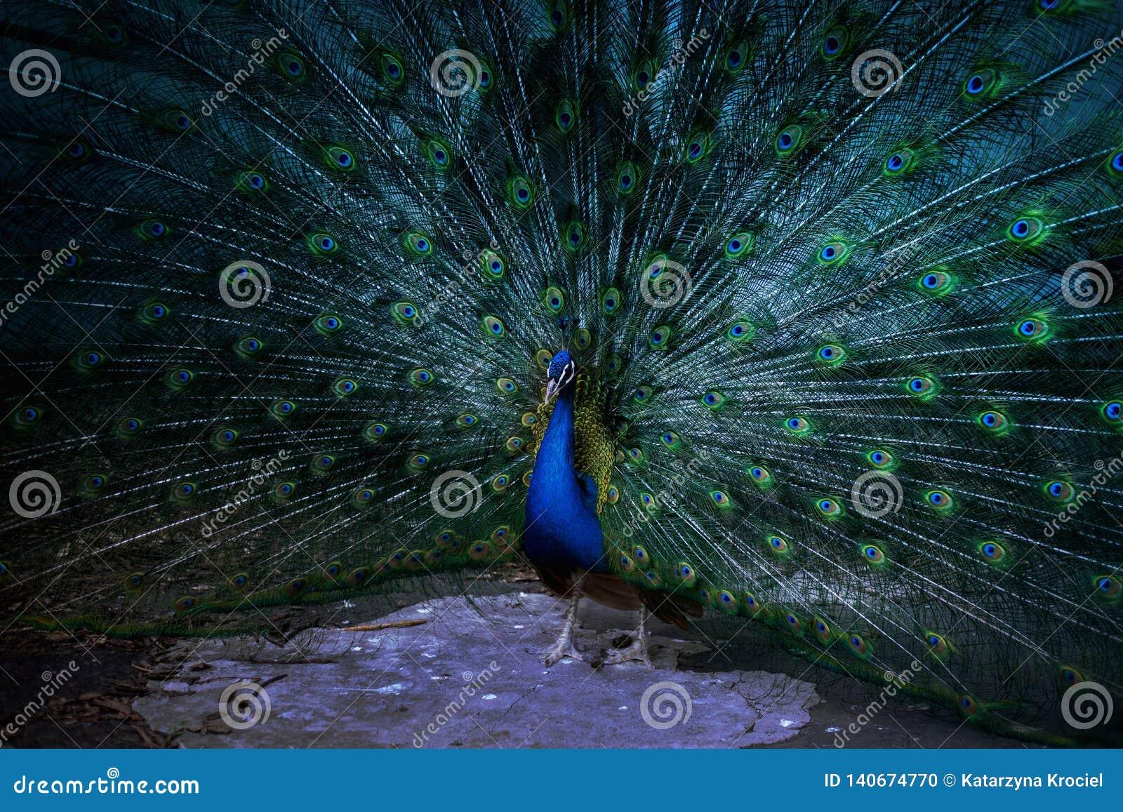 Το peacock παρουσιάζει την ουρά, το peacock παρουσιάζει τα φτερά, τακτοποιεί την ερωτοτροπία, μάτι Peacock