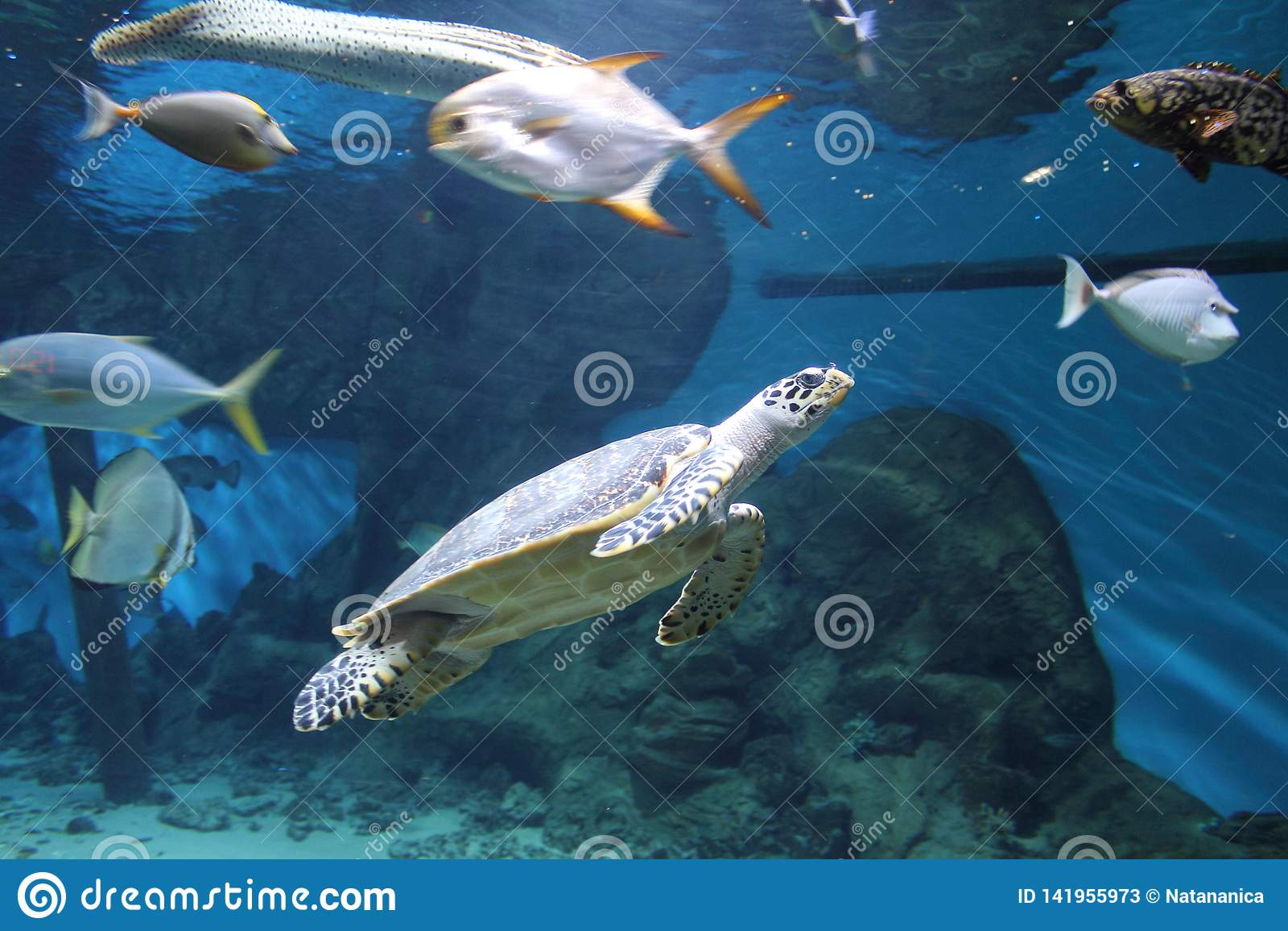 Τροπικές μεγάλες ψάρια και χελώνα σε ένα μεγάλο ενυδρείο