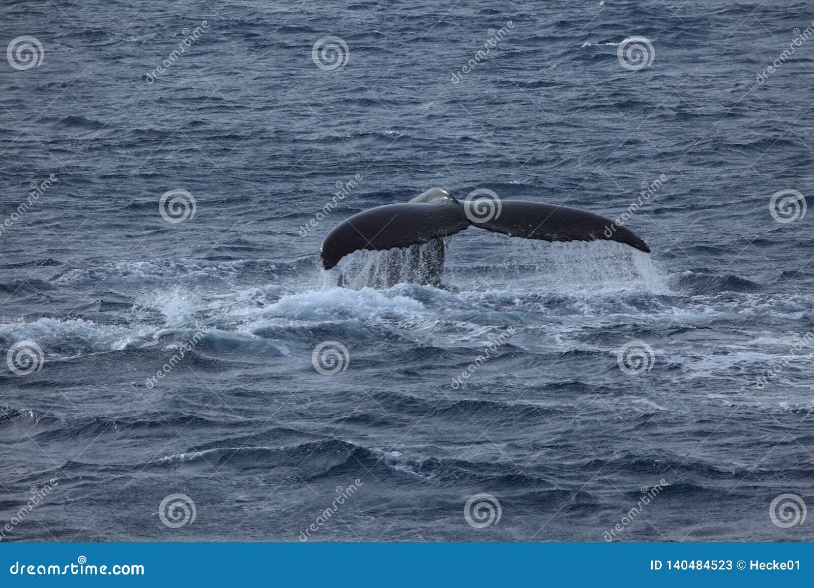 Φάλαινα που προσέχει τις φάλαινες Humpback στην Ανταρκτική