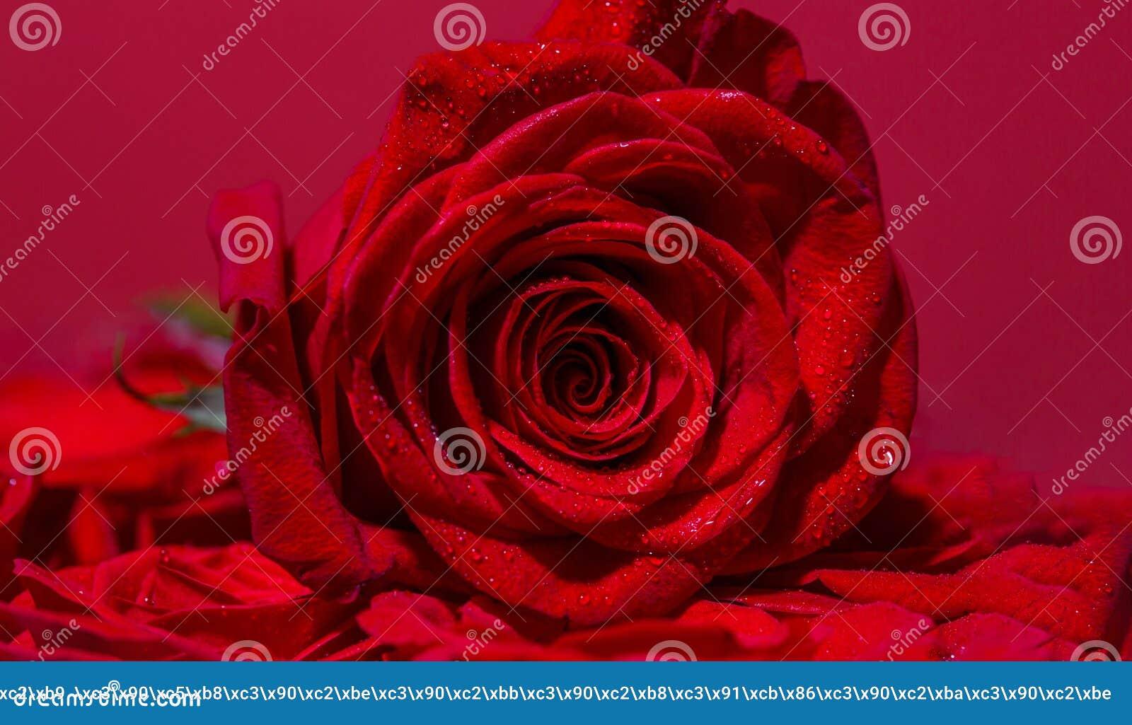 Φωτεινός κόκκινος αυξήθηκε για την ημέρα βαλεντίνων Τριαντάφυλλα στο ανθοπωλείο Ένα κόκκινο αυξήθηκε άνθιση τα πέταλα αυξήθηκαν τ