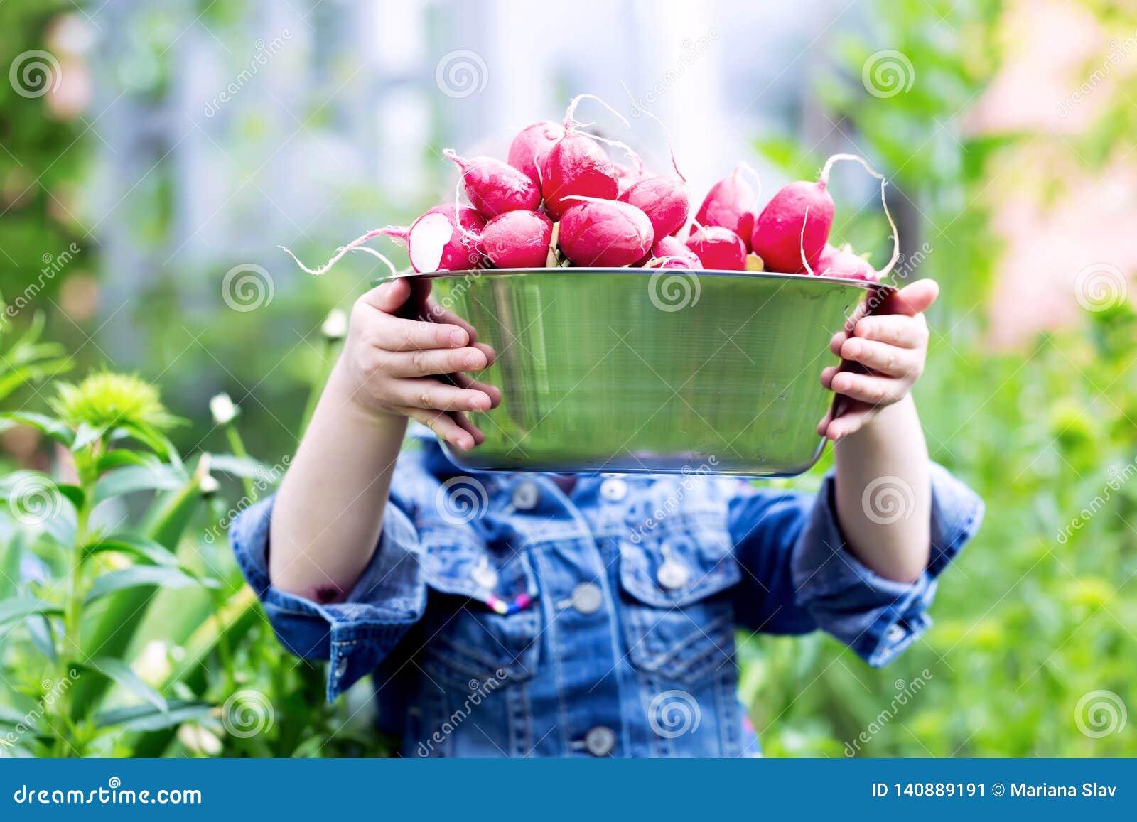 Χέρια Childs που κρατούν ένα σύνολο κύπελλων των συγκομισμένων ραδικιών από τον κήπο