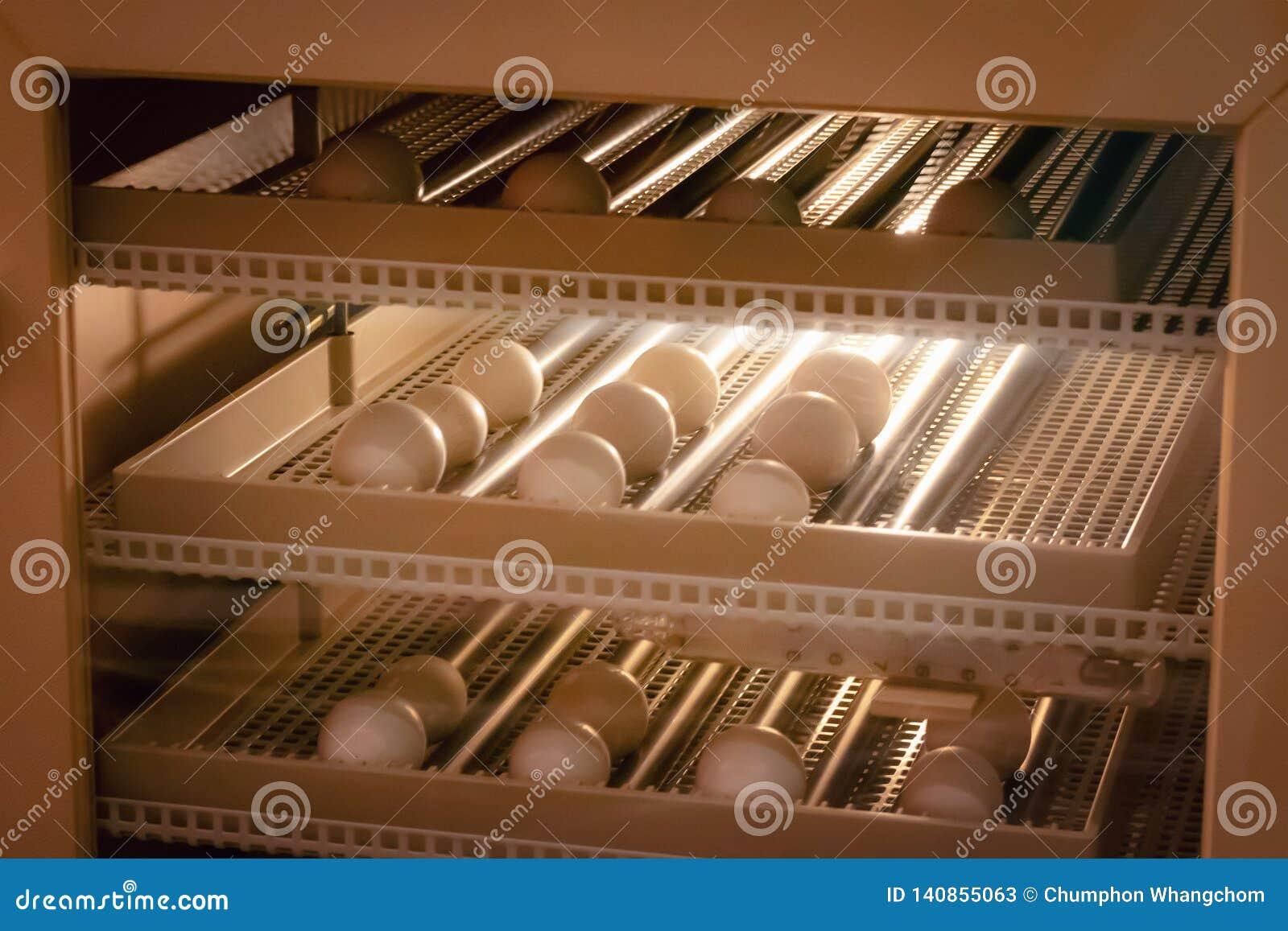 Υπόβαθρο μηχανών επωαστήρων αυγών Αυγό πουλιών με την εκκόλαψη στο αγρόκτημα