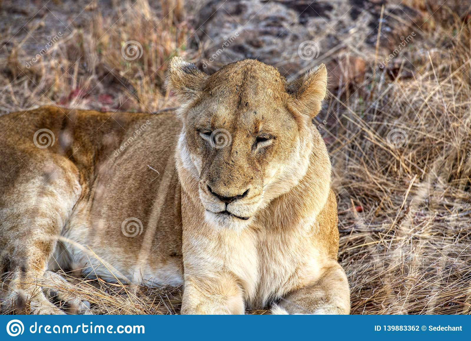 Υπόλοιπο λιονταρινών μια νεφελώδη ημέρα σε Kruger