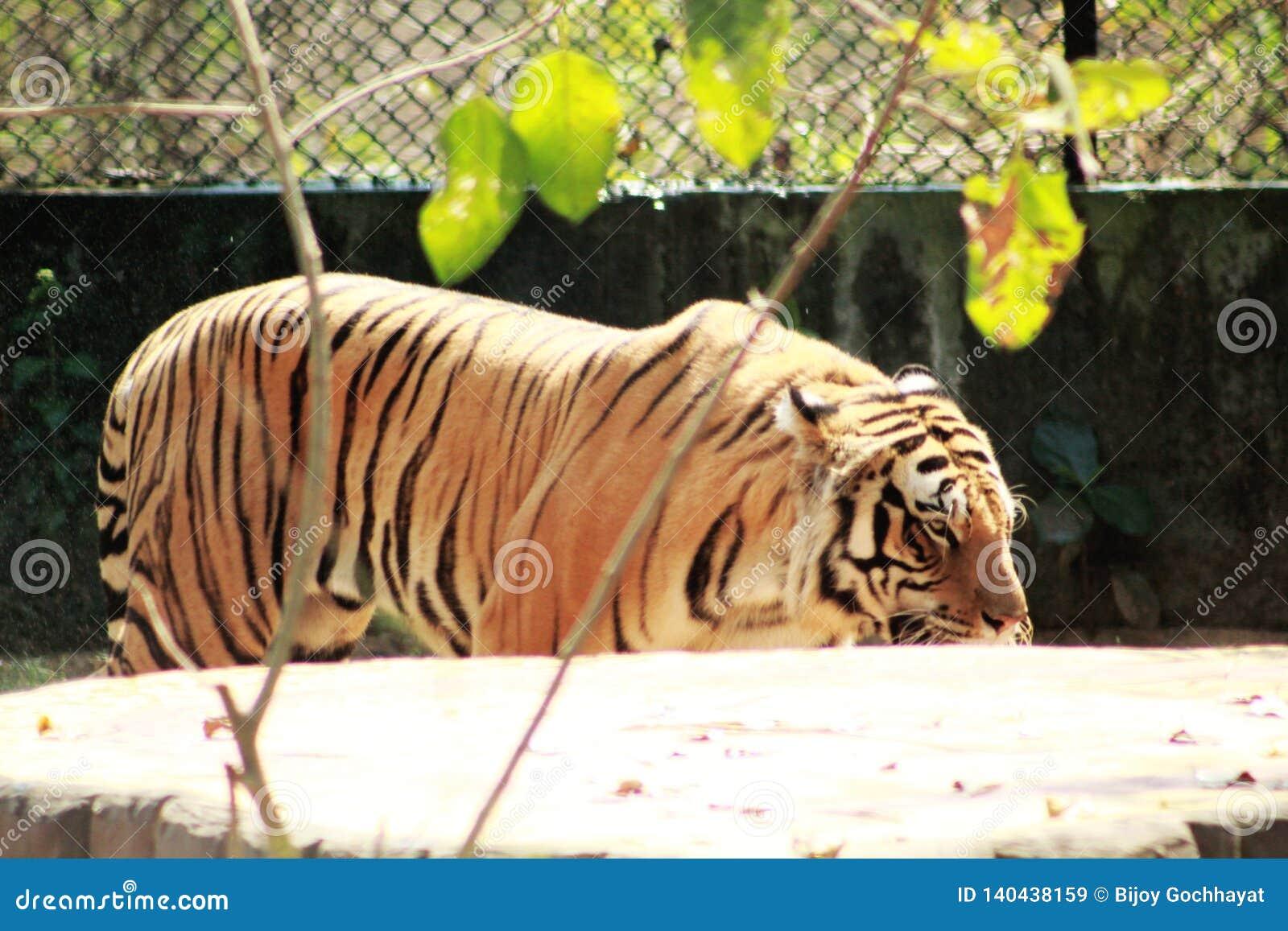 Πλάγια όψη του Τίγρη τιγρών κοντά σε έναν τοίχο