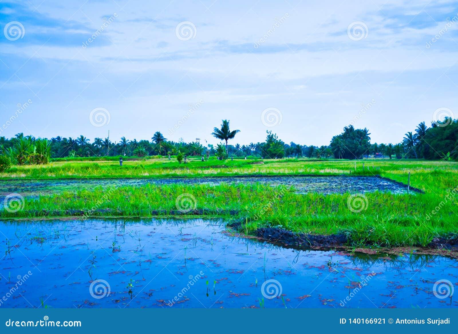 Πολύβλαστος πράσινος τομέας πεζουλιών ρυζιού με άρδευση νερού στο νοτιοανατολικό ασιατικό μπλε ηλιοβασίλεμα