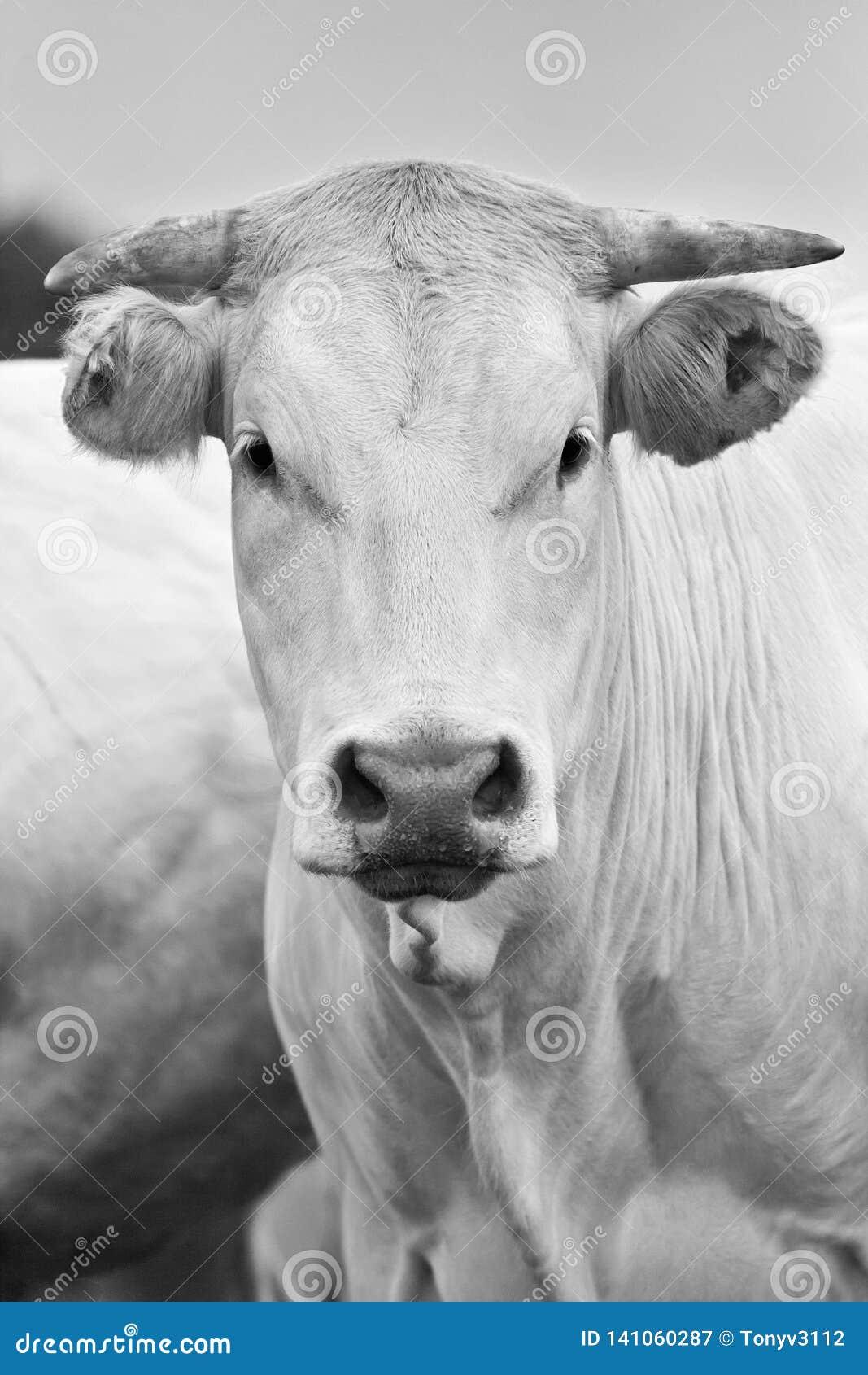 """Πορτρέτο μιας αγελάδας ξανθού δ """"Aquitaine"""