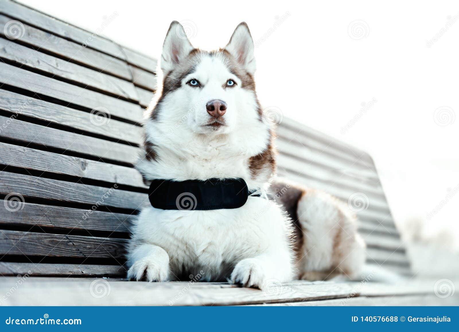 Πορτρέτο του μπλε eyed όμορφου σιβηρικού γεροδεμένου σκυλιού σε έναν περίπατο