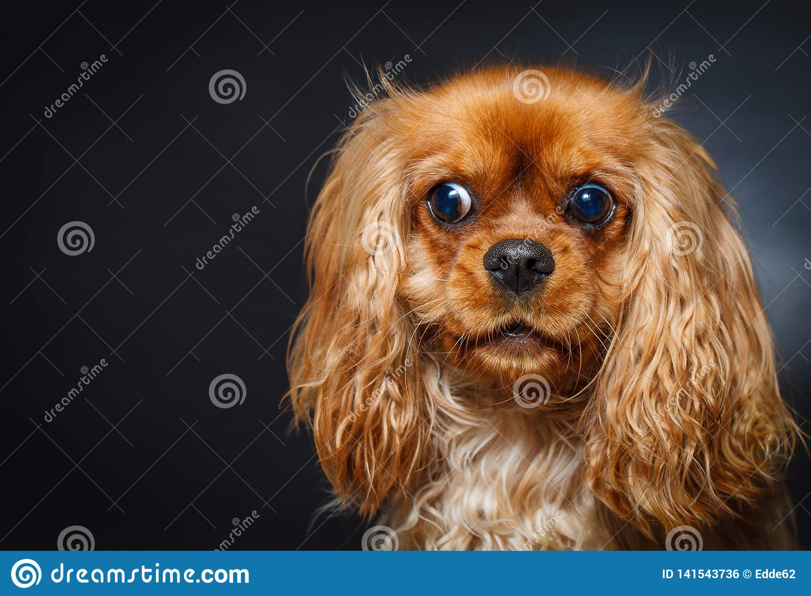 Πορτρέτο του χαριτωμένου αλαζόνας σπανιέλ Charles βασιλιάδων
