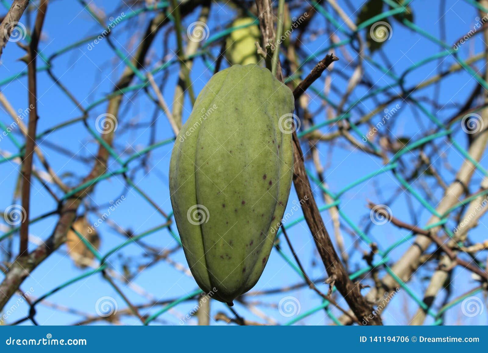 Πράσινα φρούτα της αναρρίχησης του κισσού