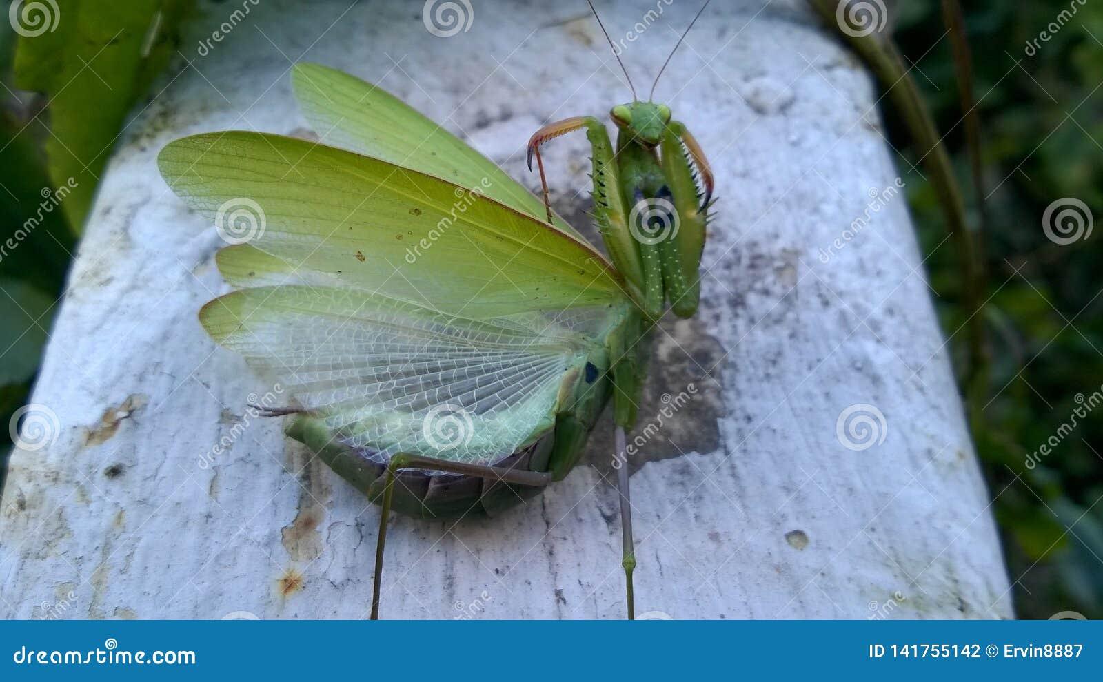 Πράσινη επίκληση Mantis έντομο συμπαθητικό