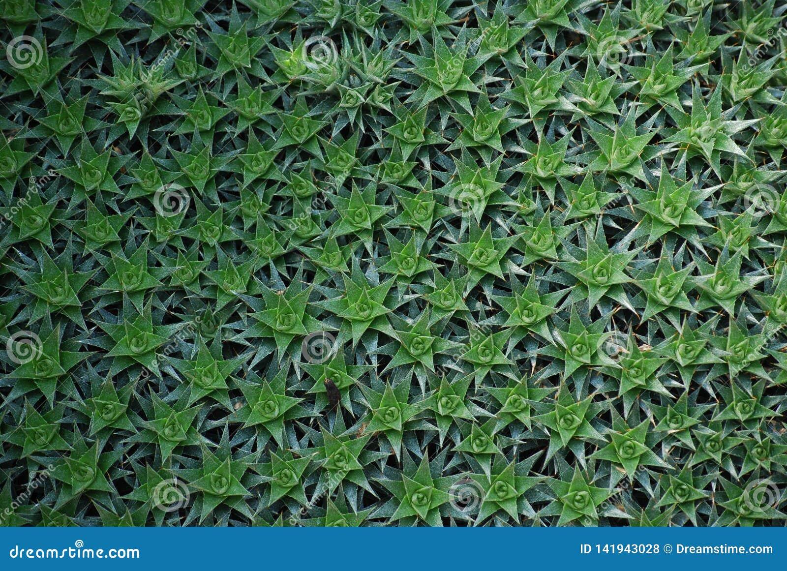 Πράσινος φυσικός τάπητας διαμορφωμένου αστέρι Succulents