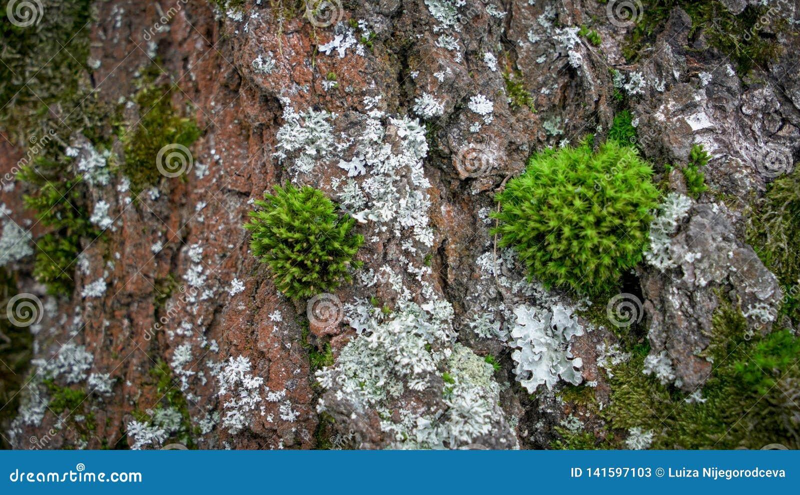 Πράσινο βρύο στο παλαιό δάσος δέντρων την άνοιξη