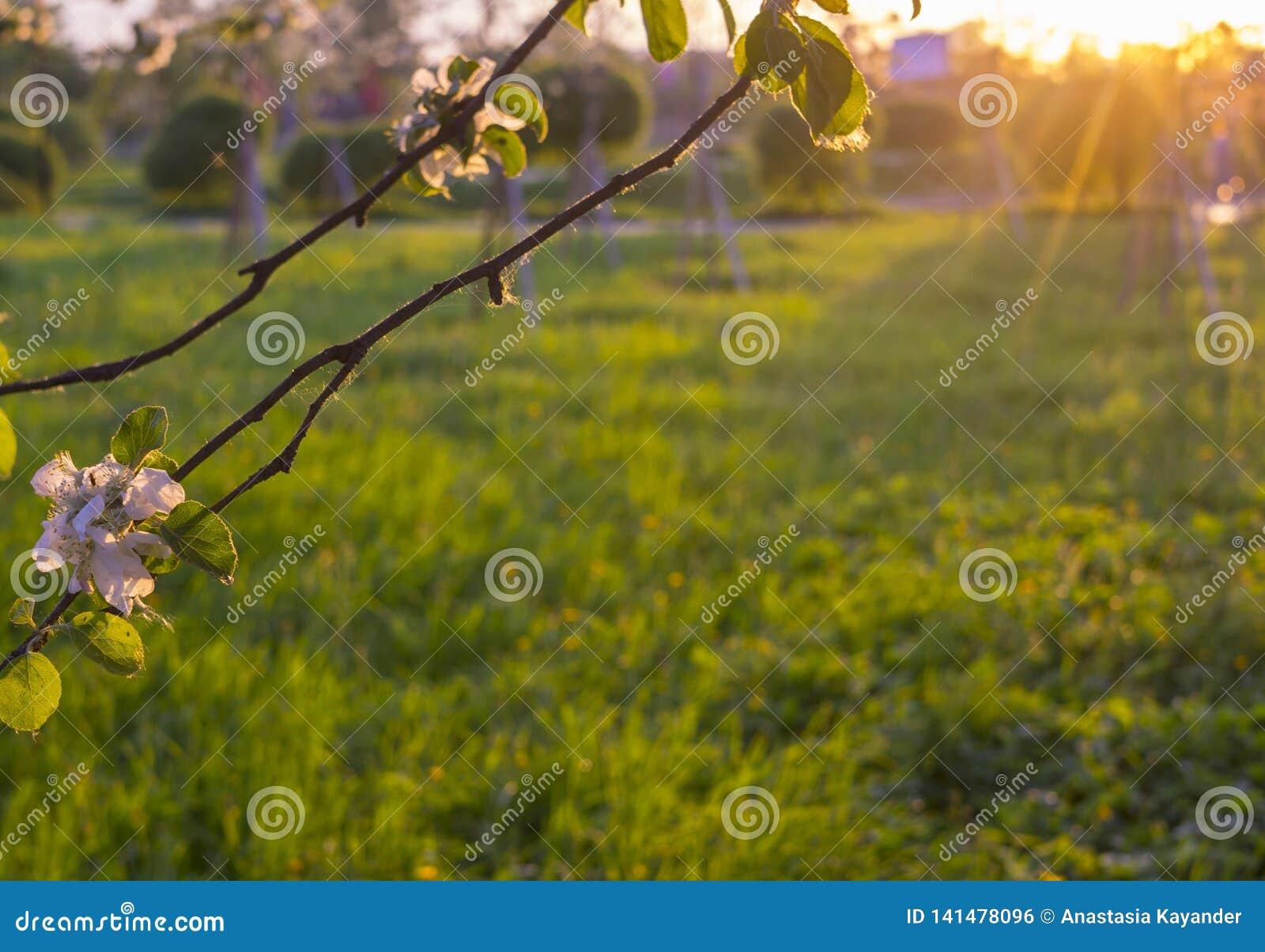 Πράσινο ξέφωτο στο ηλιοβασίλεμα που πλαισιώνεται από τα ροδαλά λουλούδια ενός δέντρου μηλιάς