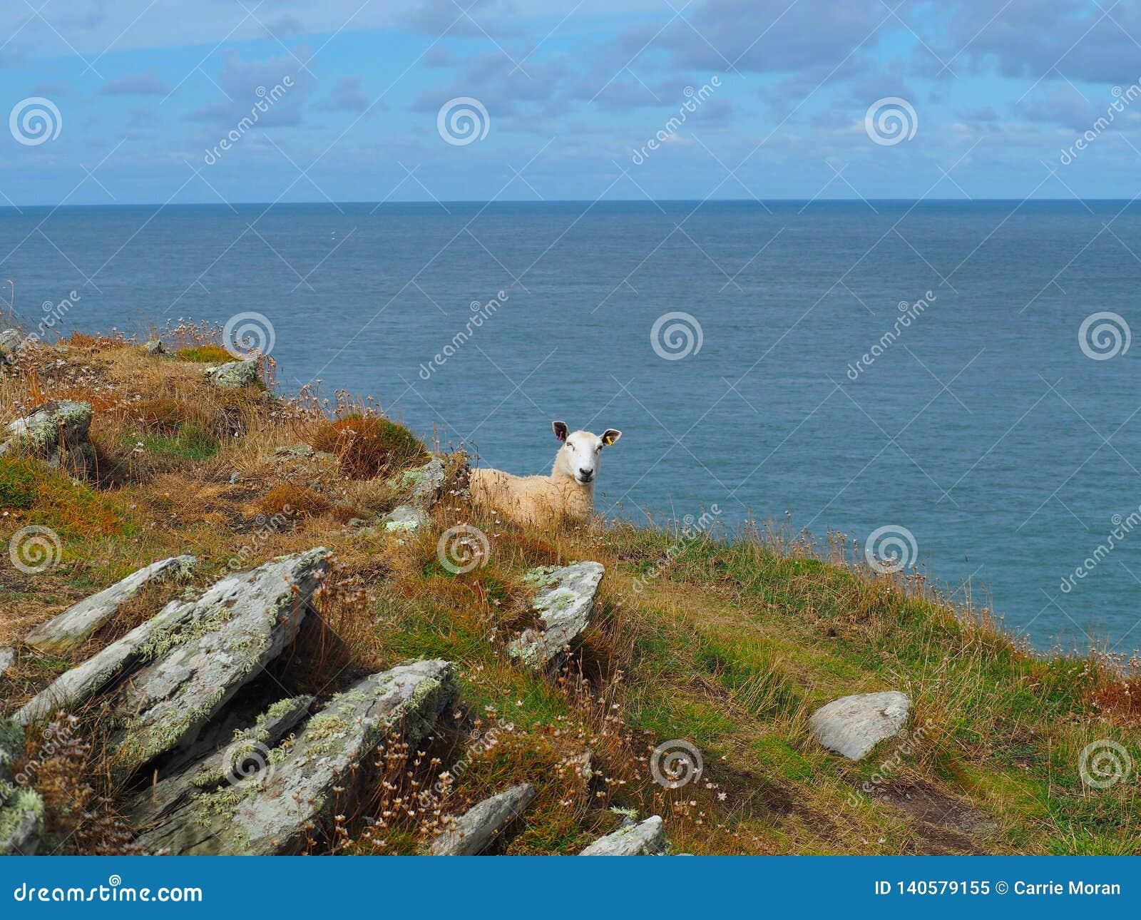 Πρόβατα που αγνοούν το κανάλι του Μπρίστολ