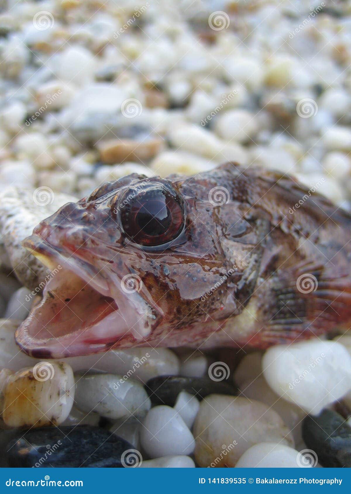Агрессивные небольшие рыбы в продуктах печатей всхода макроса песка высококачественных