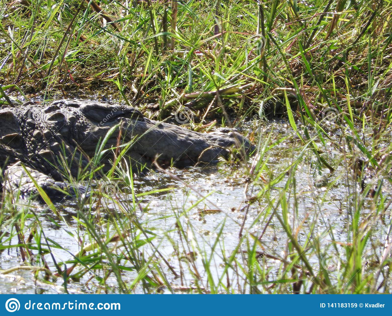 Аллигатор в национальном парке Yala на острове Шри-Ланка