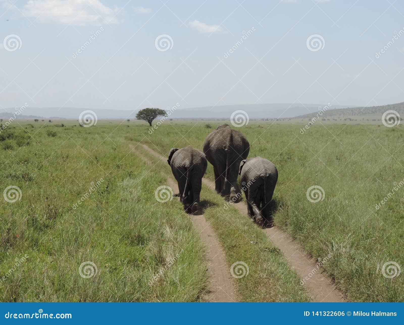 Африканский слон матери со слонами младенца в национальном парке Serengeti, Танзании