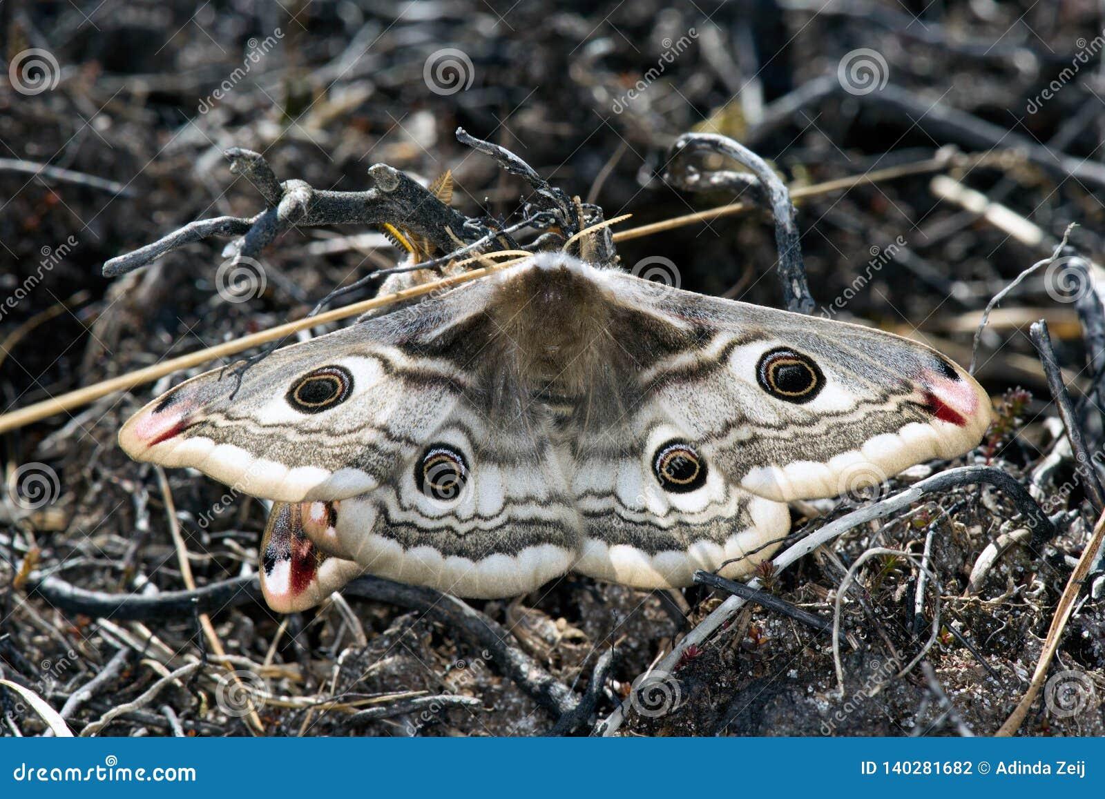 Бабочка ночи императора в сосновом лесе Ютландии