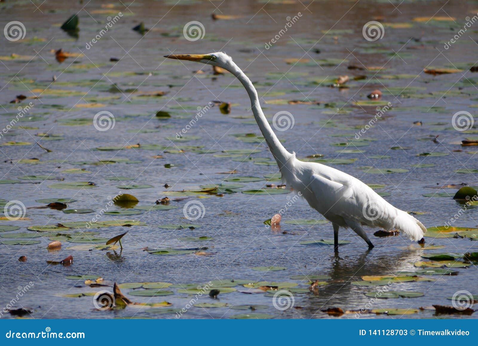 Белый Egret протягивает вне свою длинную шею