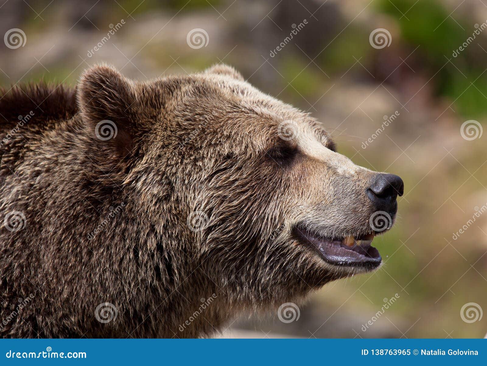 Близкий поднимающий вверх портрет взрослого бурого медведя Портрет beringianus arctos Ursus медведя Камчатки