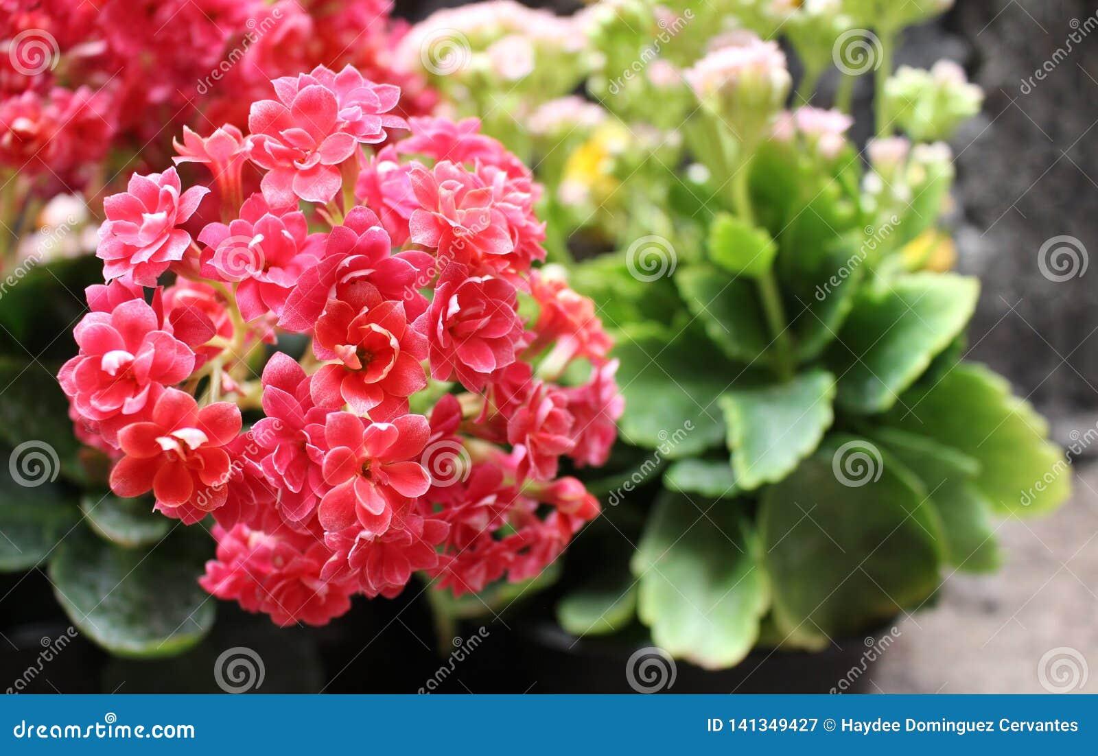 Букет крошечных цветков завода kalanchoe