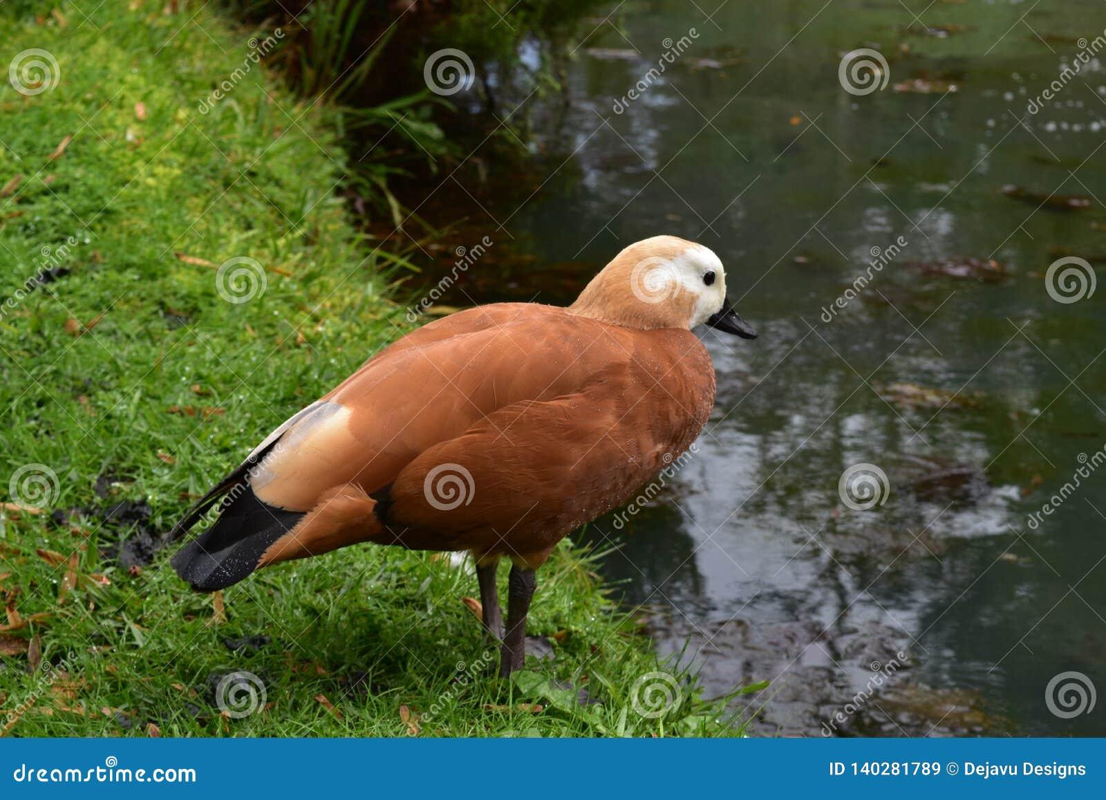 Браун и черная утка подготавливают для того чтобы принять погружение