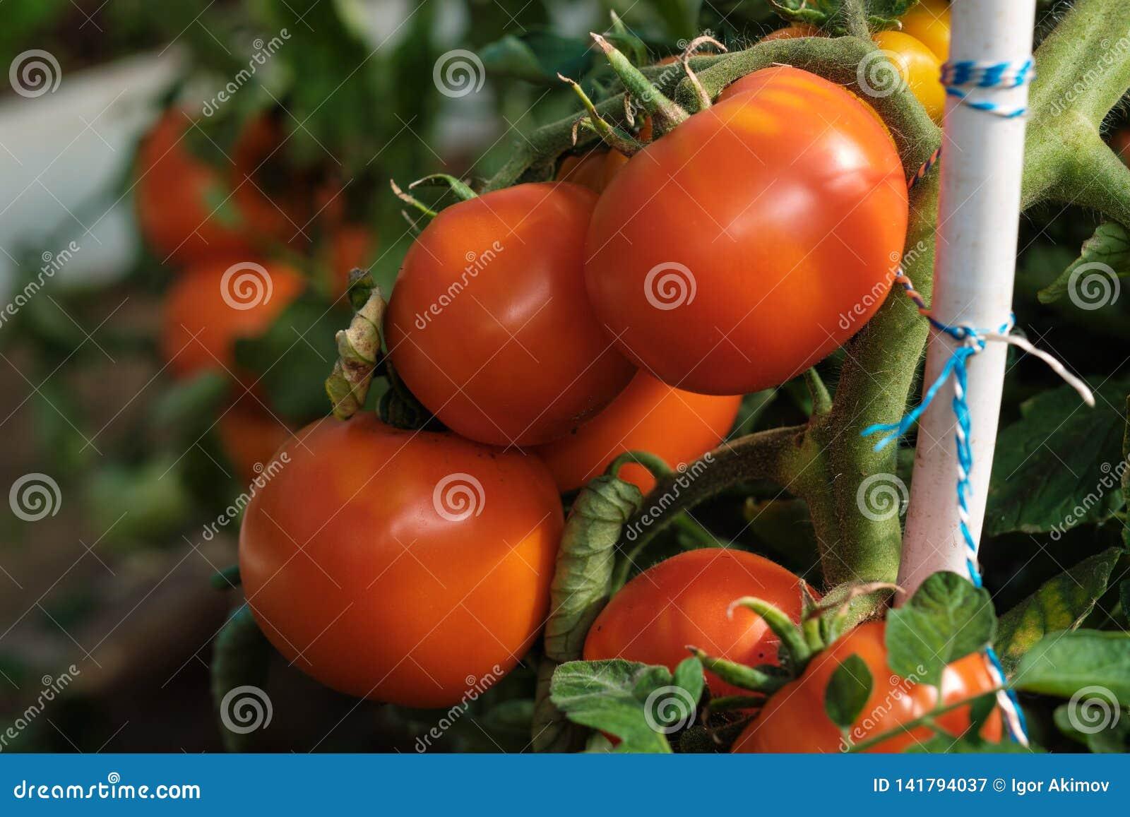 Большая ветвь со среднего размера пинком и красными томатами Сбор лета овощей Загорано яркой солнечностью