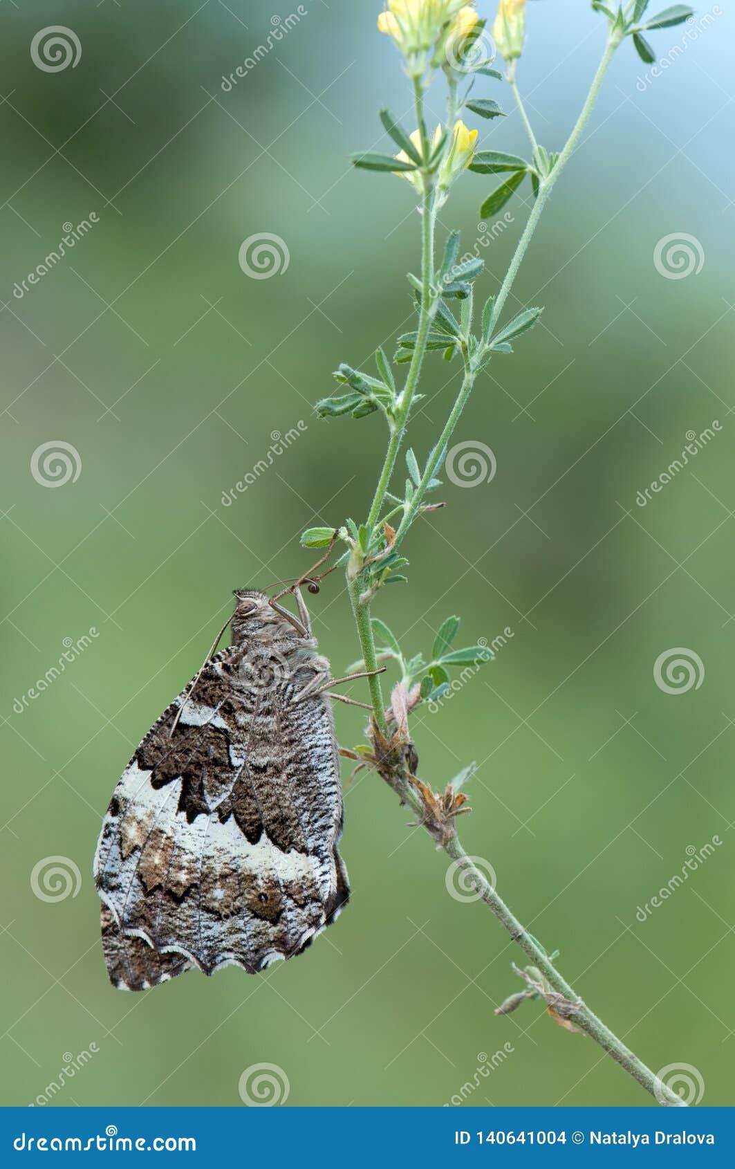 Большое populi Laminitis бабочки