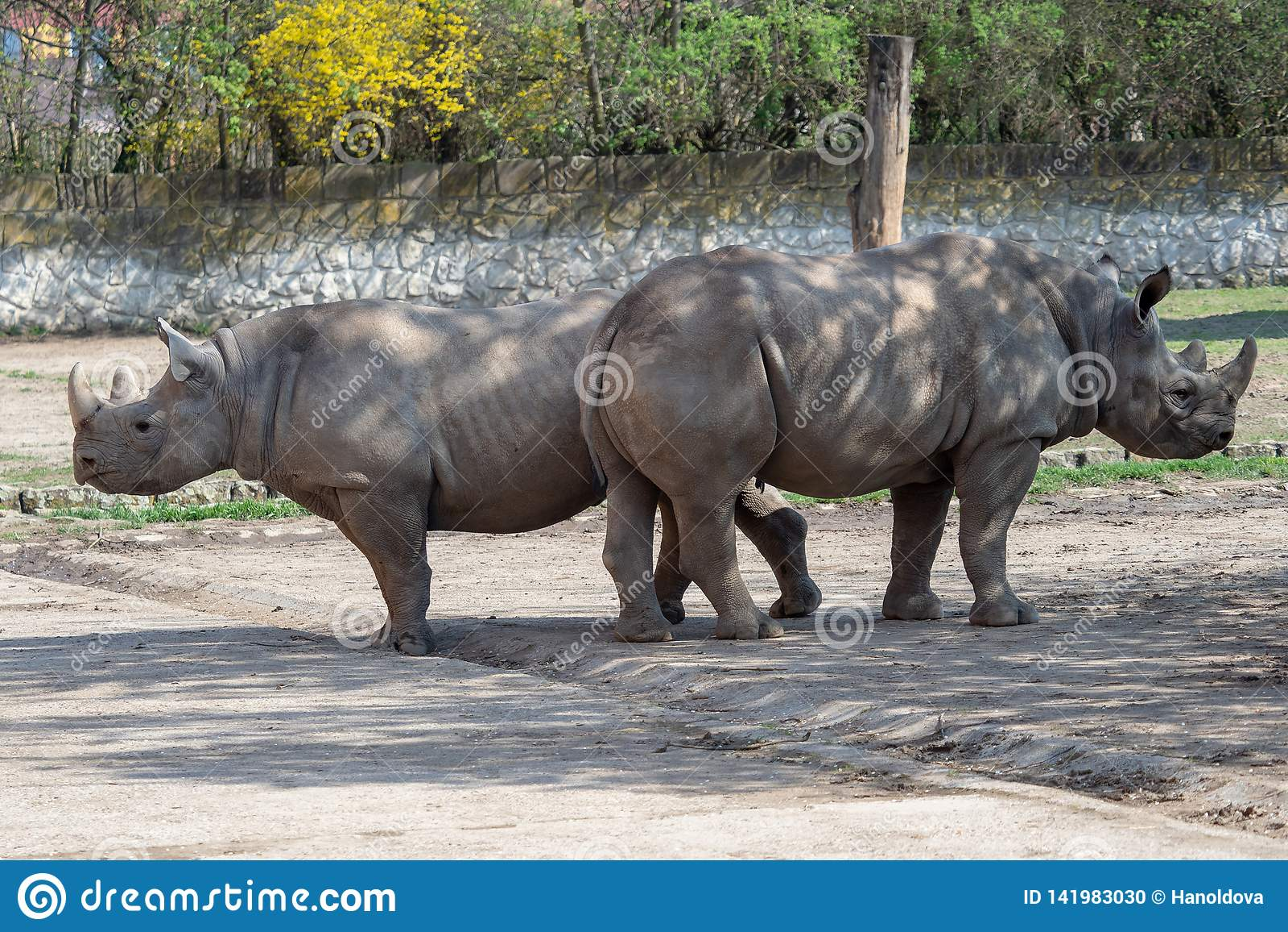 Большой восточный черный носорог, michaeli bicornis Diceros