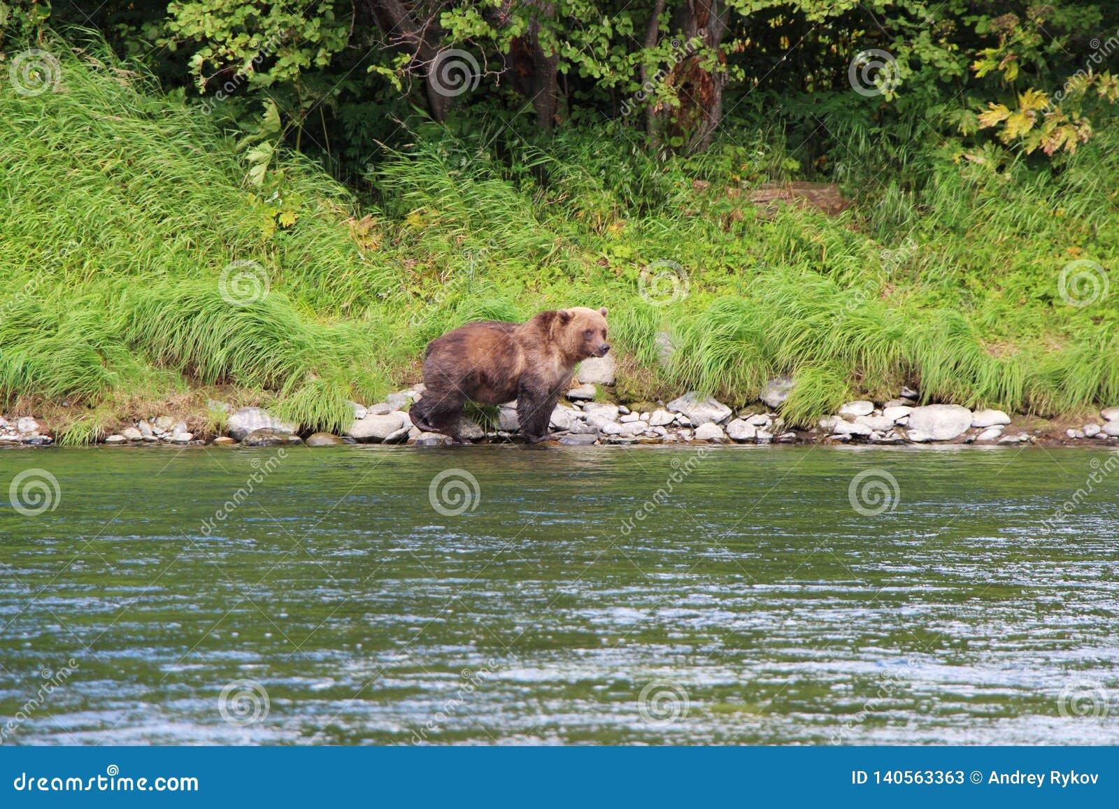 Большой дикий медведь идет рекой