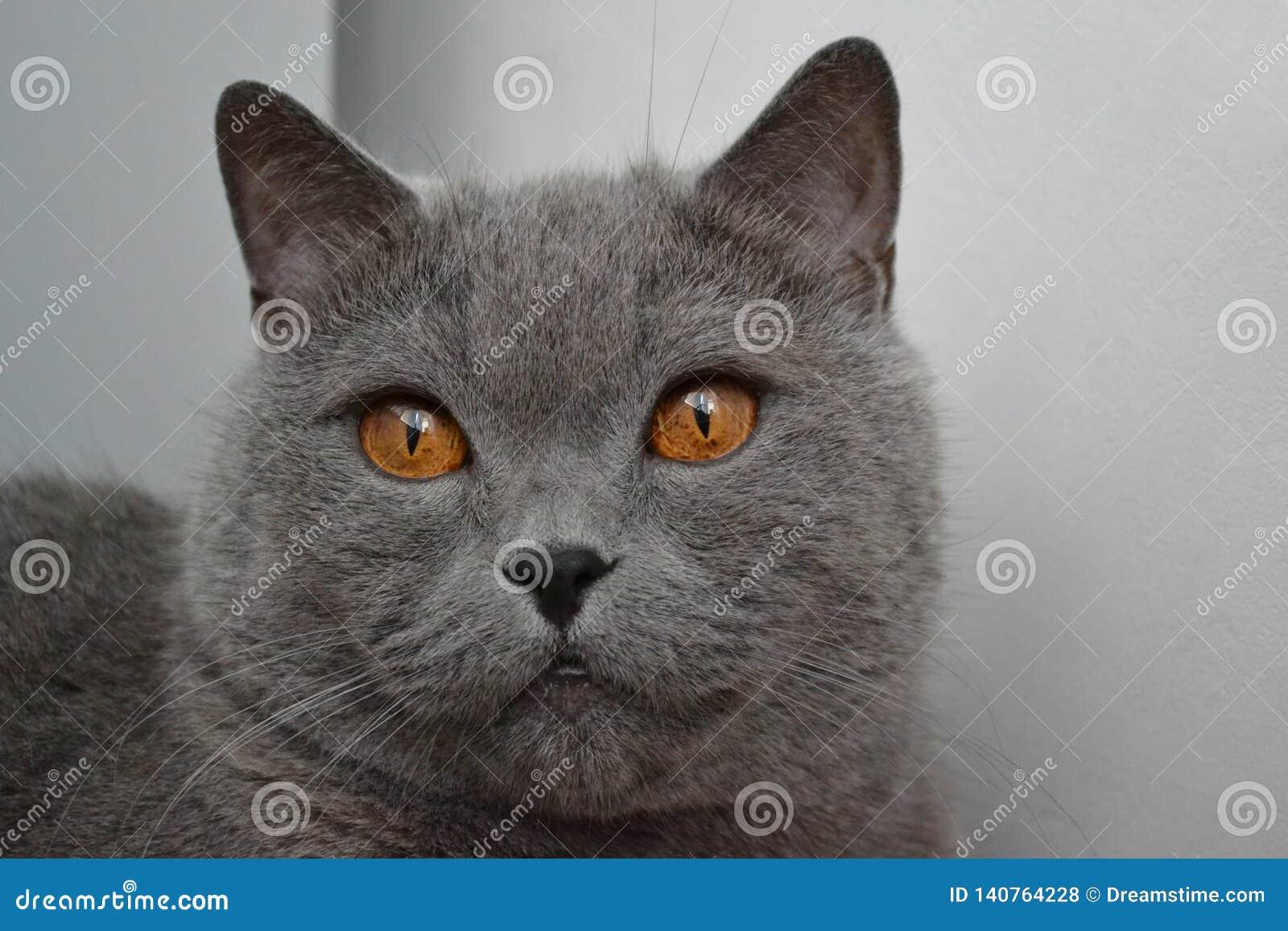 Великобританский кот с золотыми глазами
