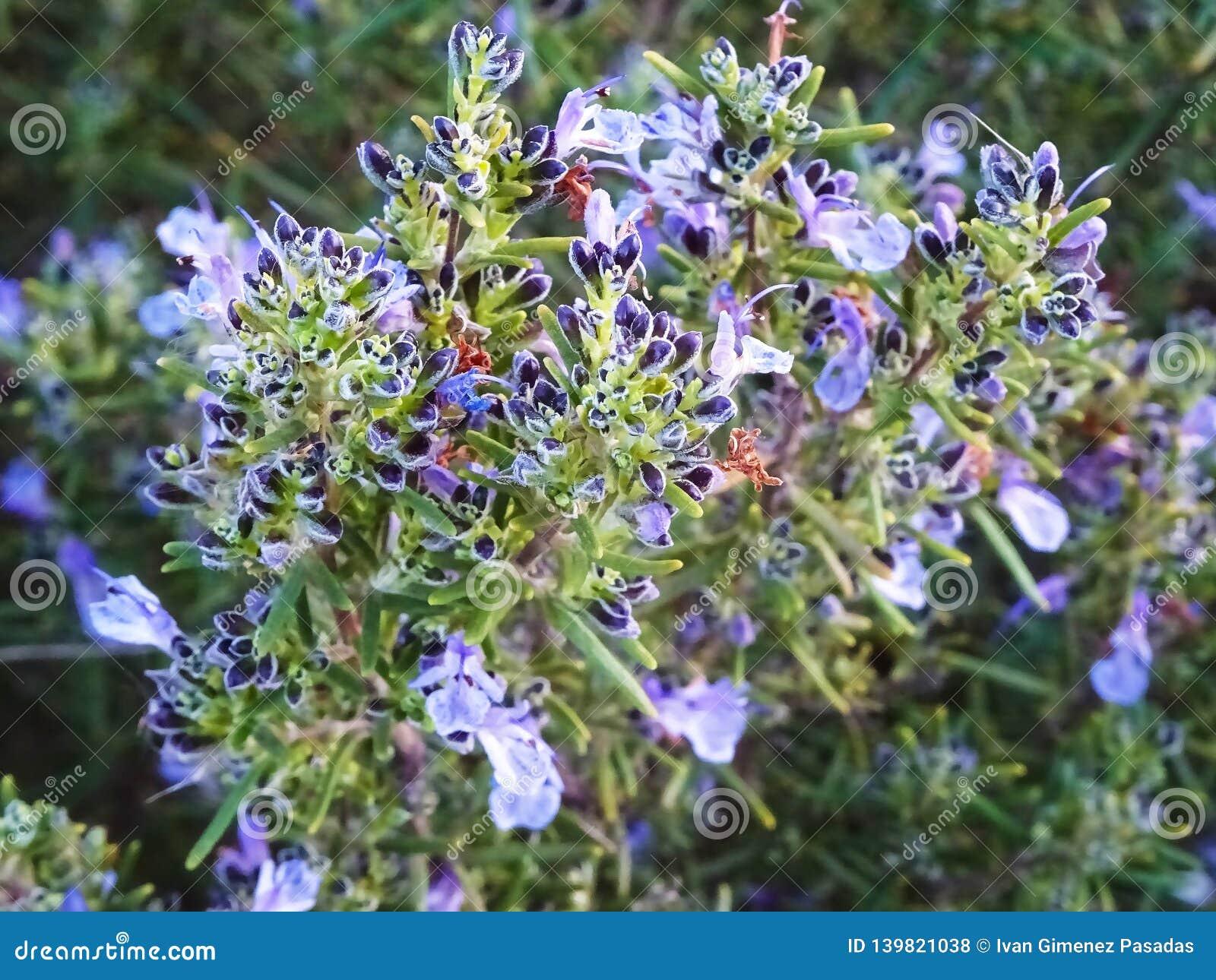 Великолепие цветка Розмари полностью